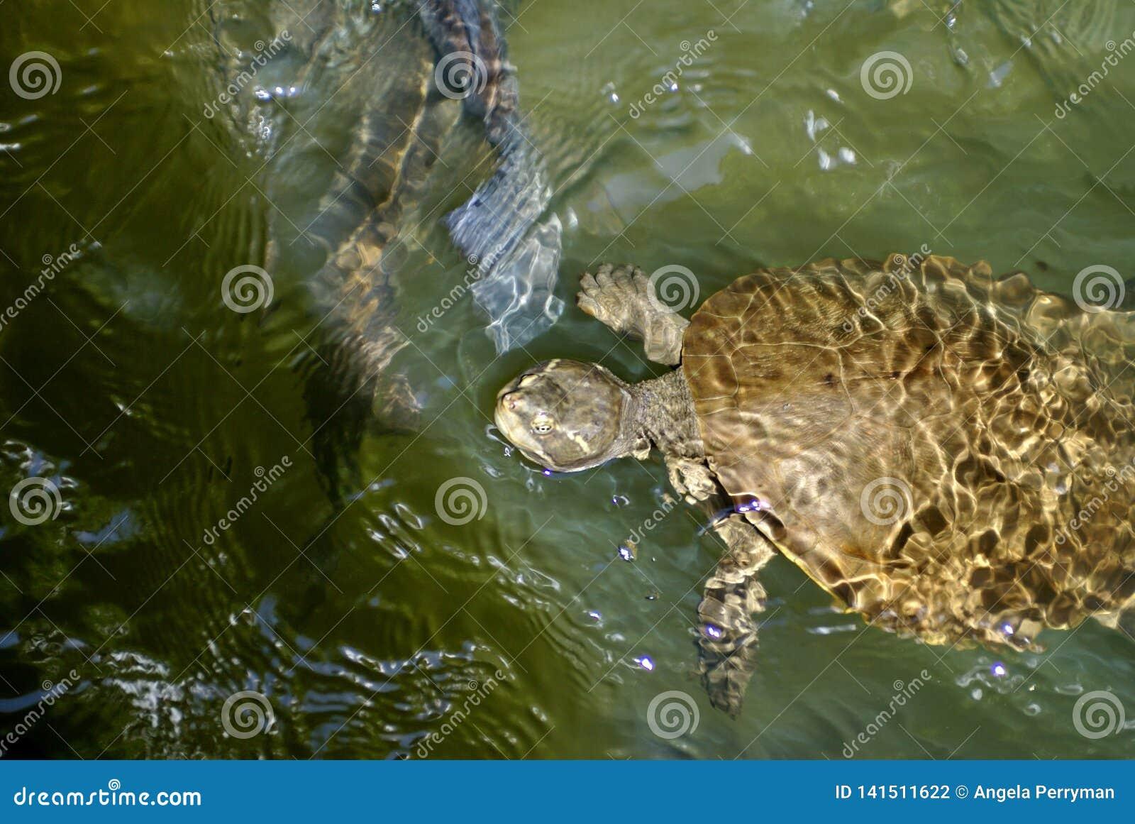 Sköldpadda i Barron River