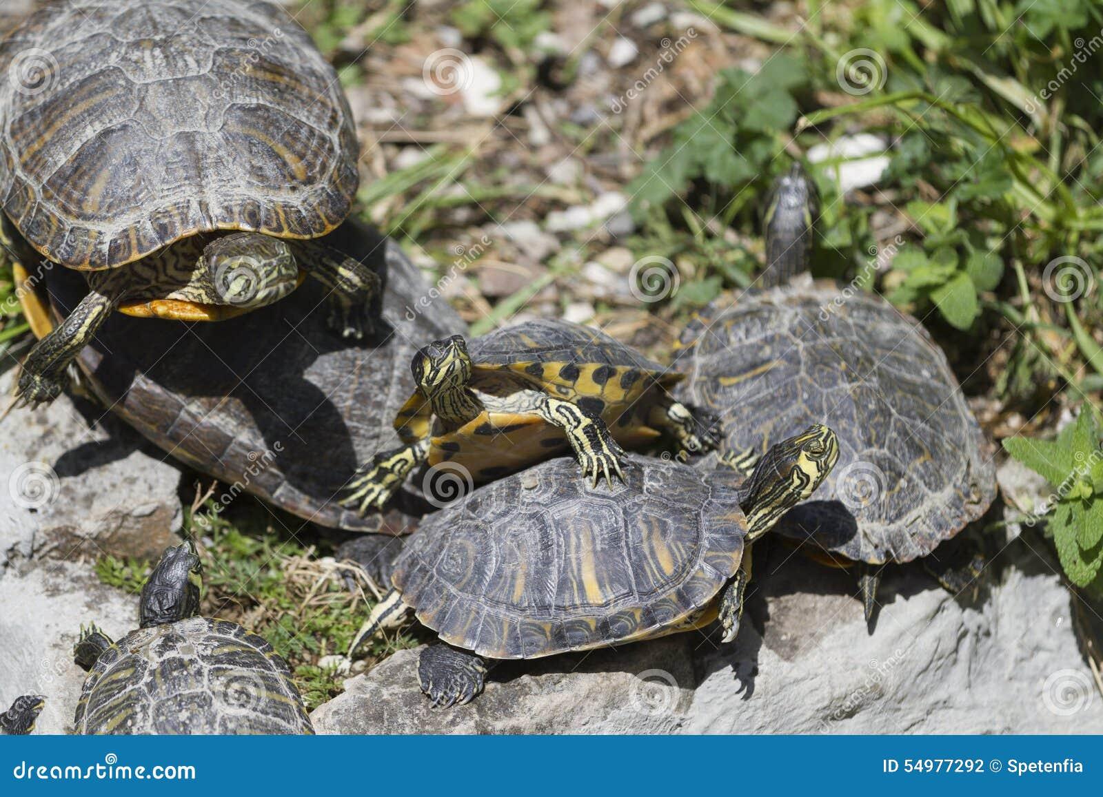 Sköldpadda på sjön