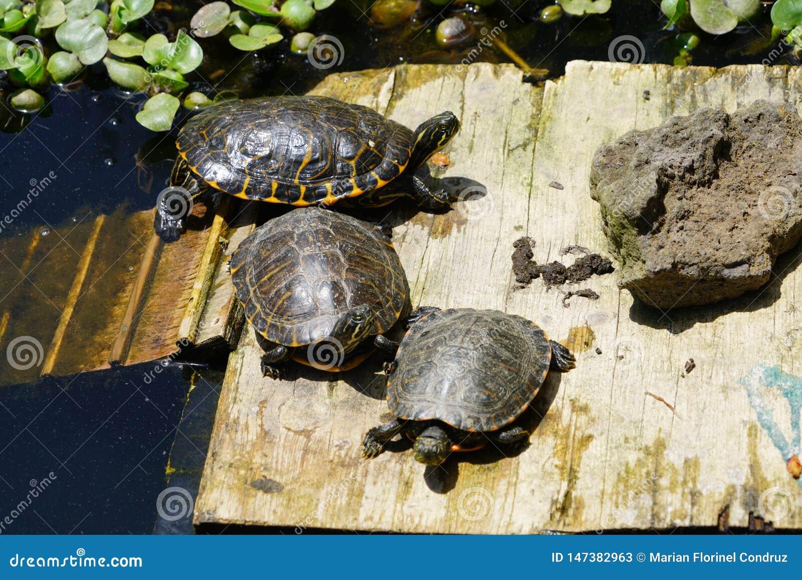 Sköldpaddor i solen på Monte Palace Tropical Garden i Funchal