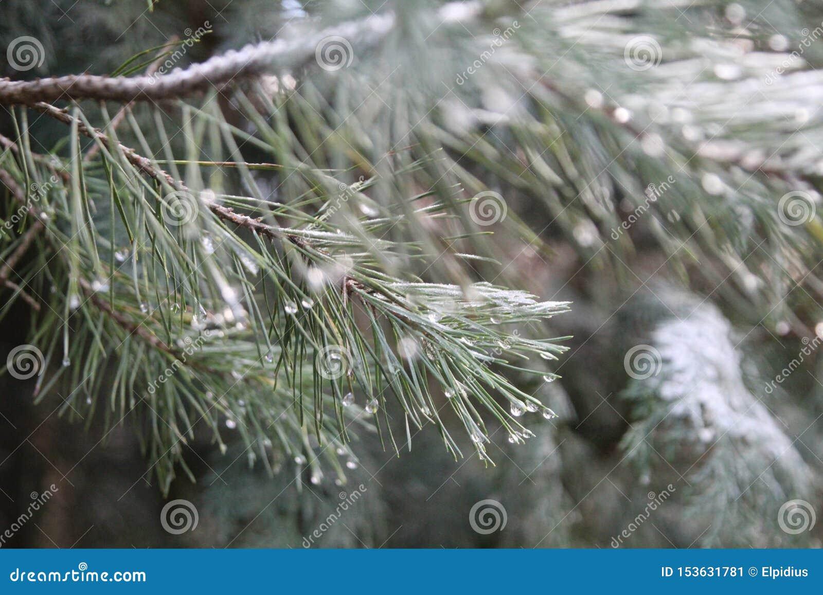 Skönheten av regndroppar på detta barrträd