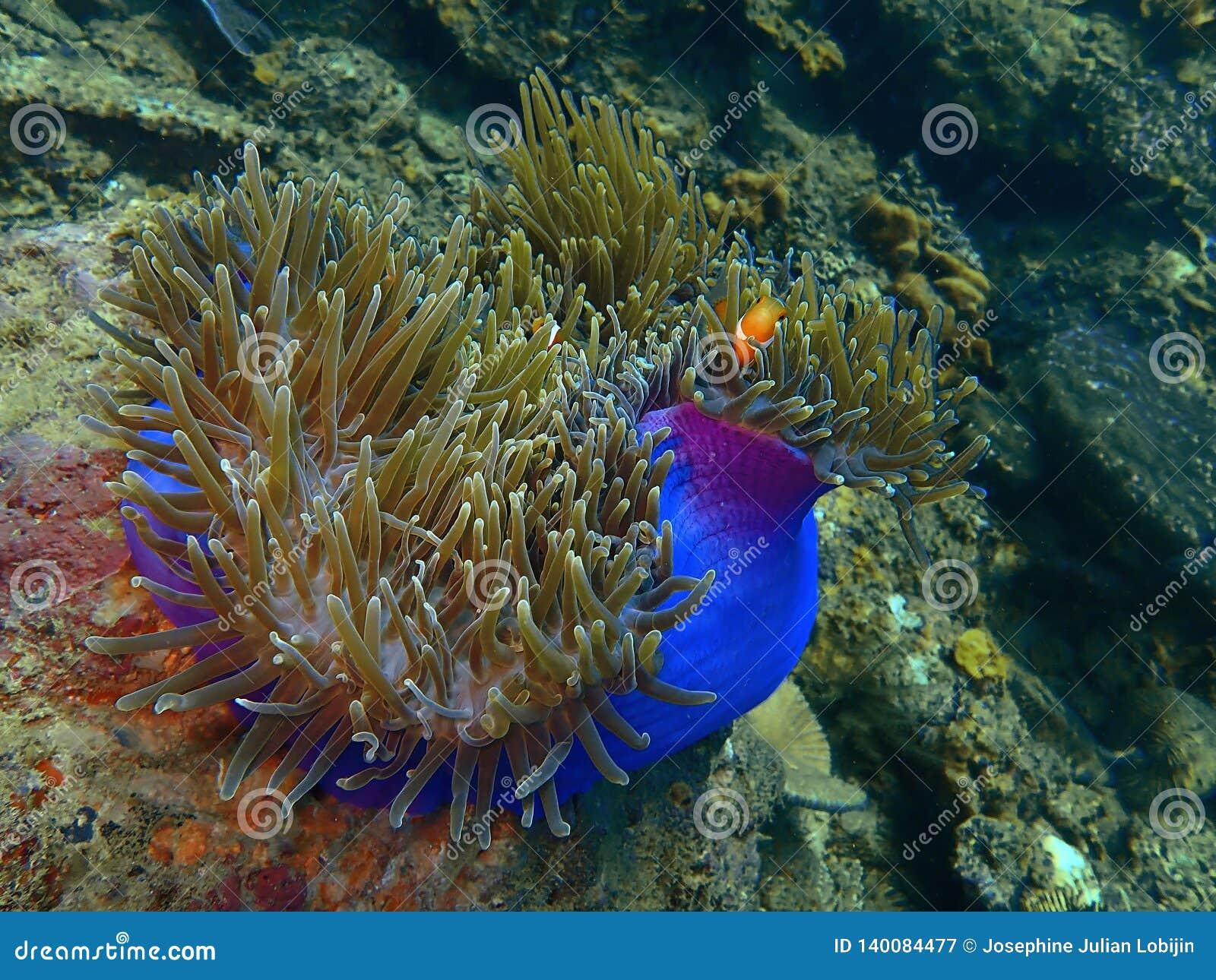 Skönheten av undervattens- världsdykning i Sabah, Borneo