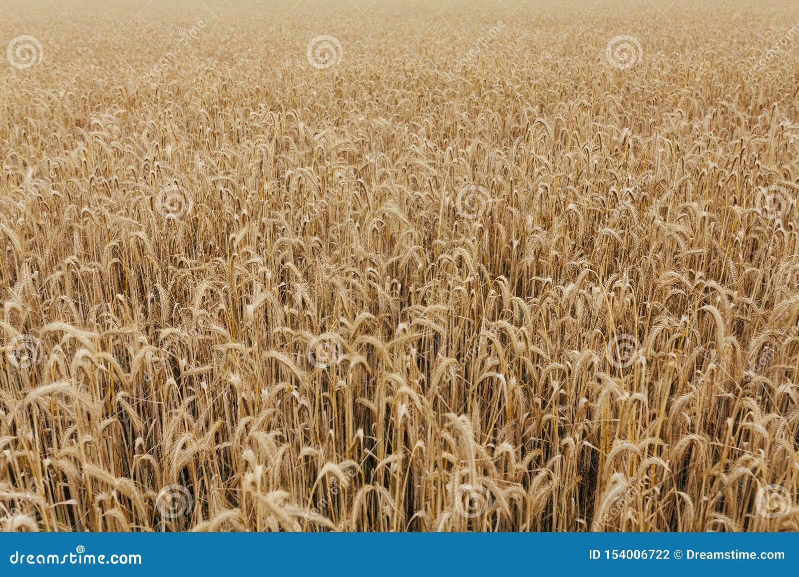 Skörd för korn för bakgrund för textur för vetefält
