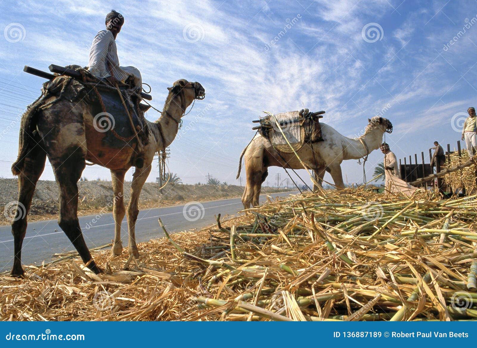 Skörd för sockerrotting i Egypten