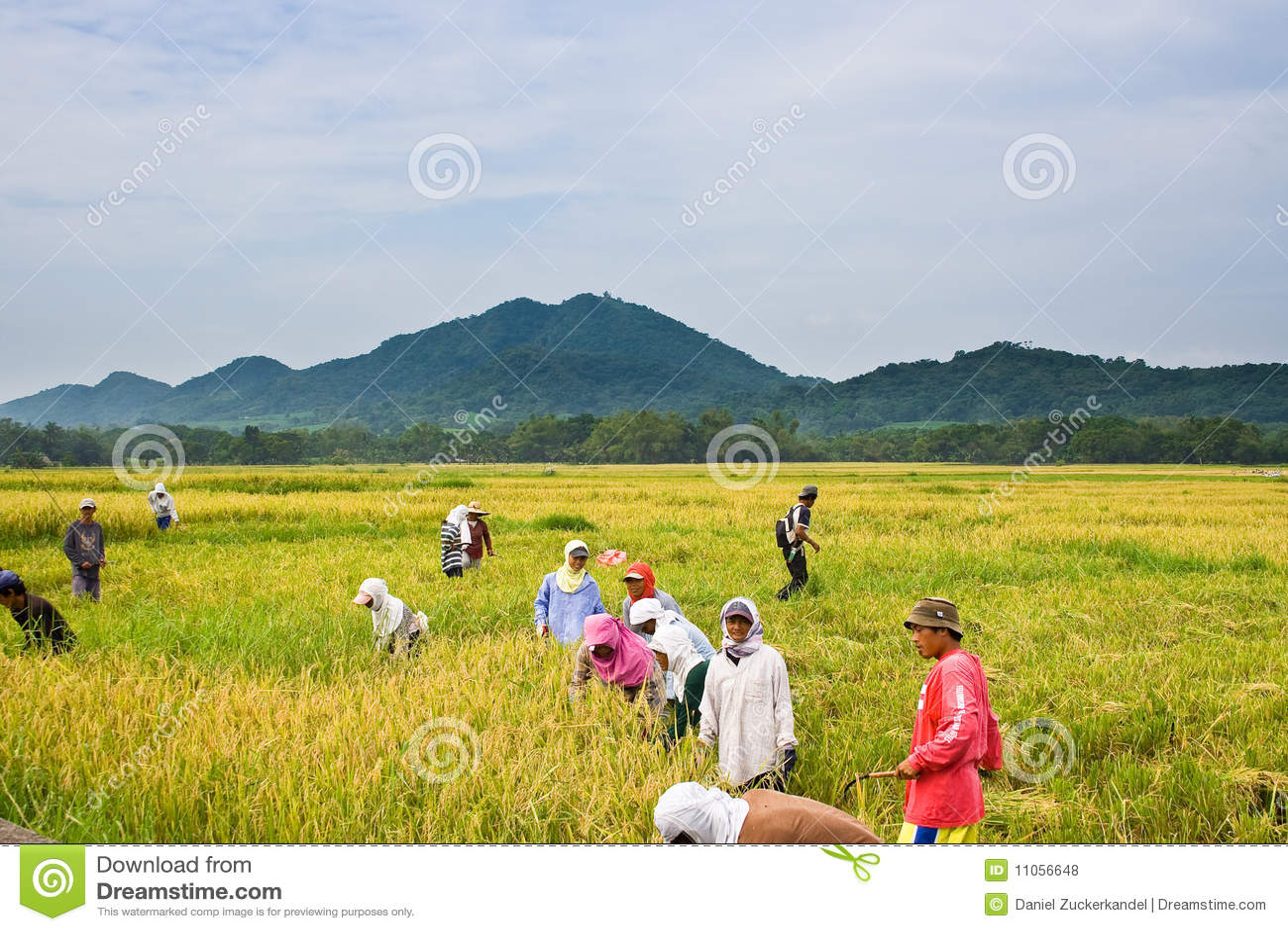 Skörda rice