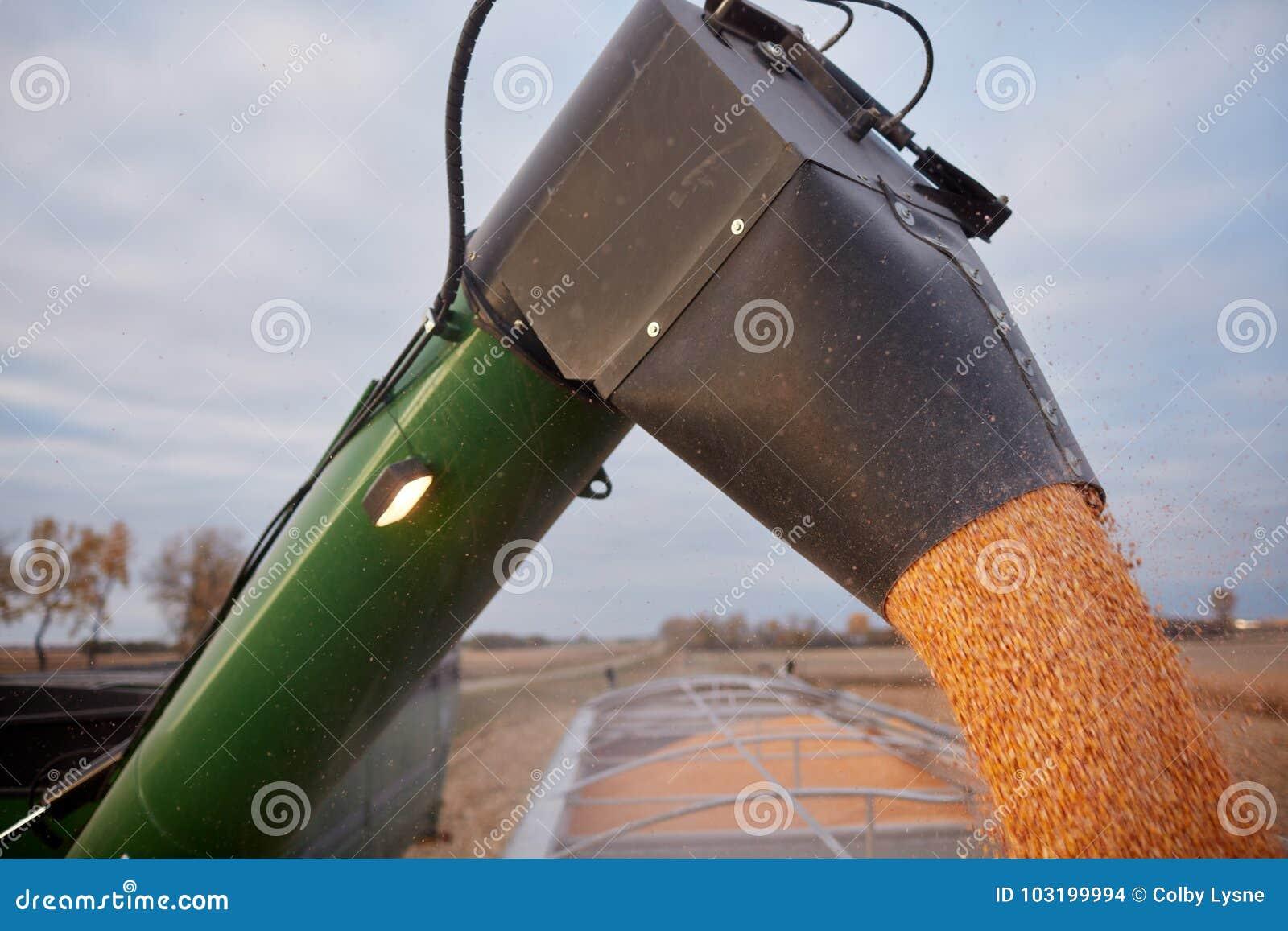 Skördetröska som fyller en lantgårdlastbil