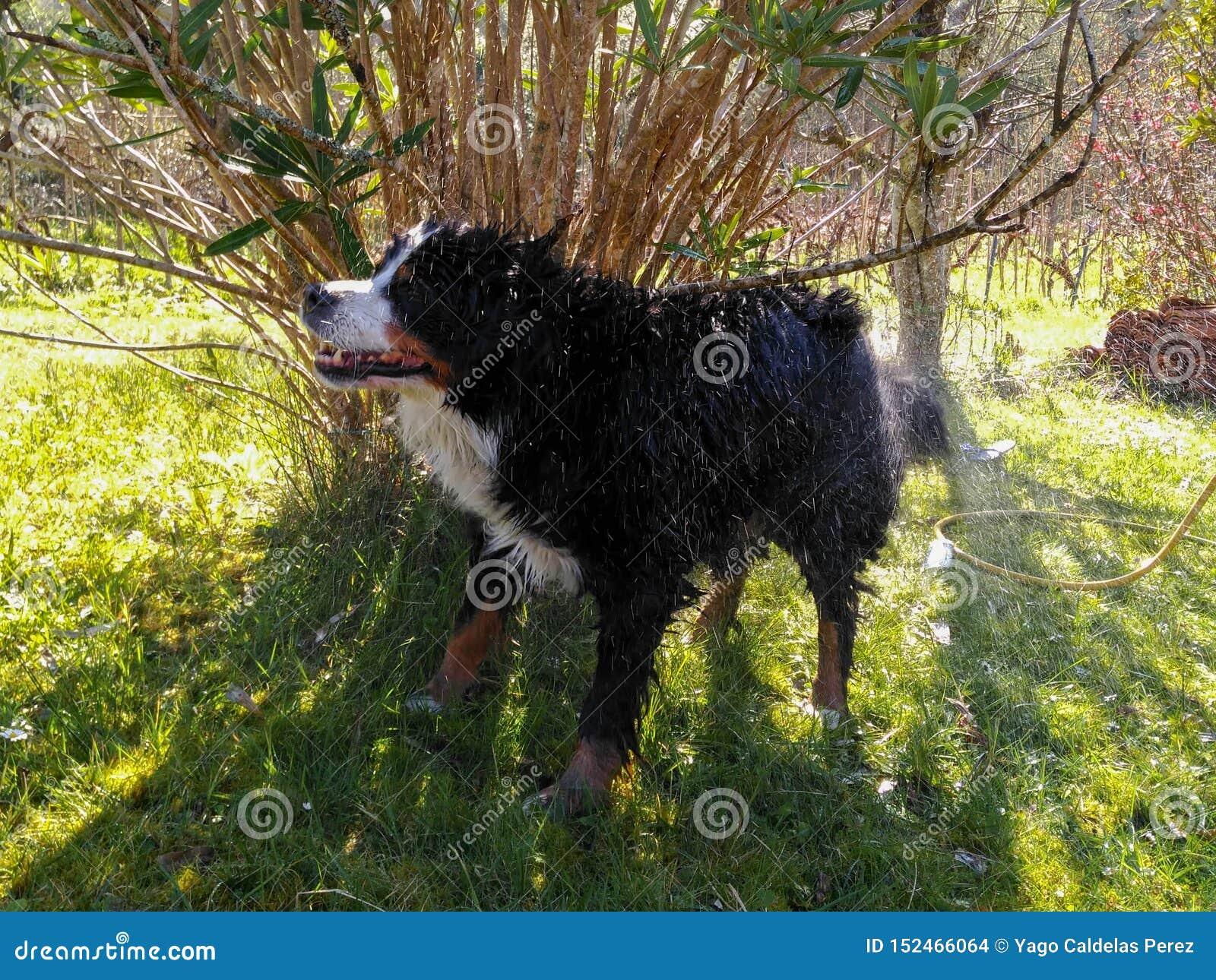 Skąpanie pies