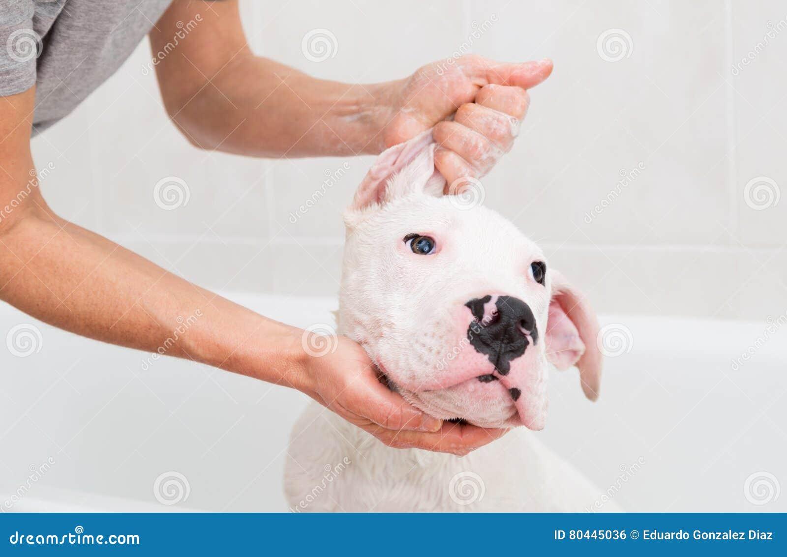 Skąpanie psi Dogo Argentino