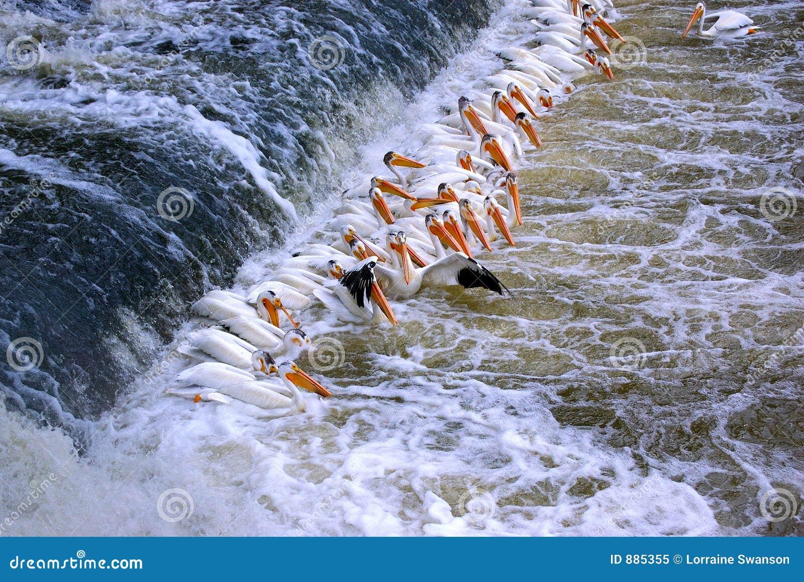 Skład pelikan