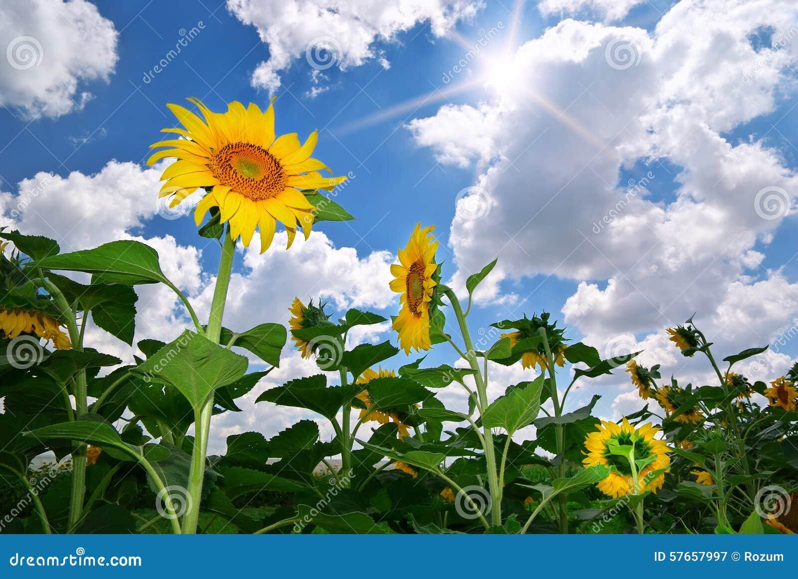 Składu łąkowi natury słoneczniki