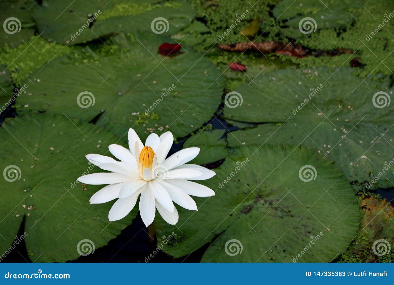 Sk?nheten av lotusblommablommor p? en solig morgon, i en str?m av vatten i Banjarmasin, s?dra Kalimantan Indonesien