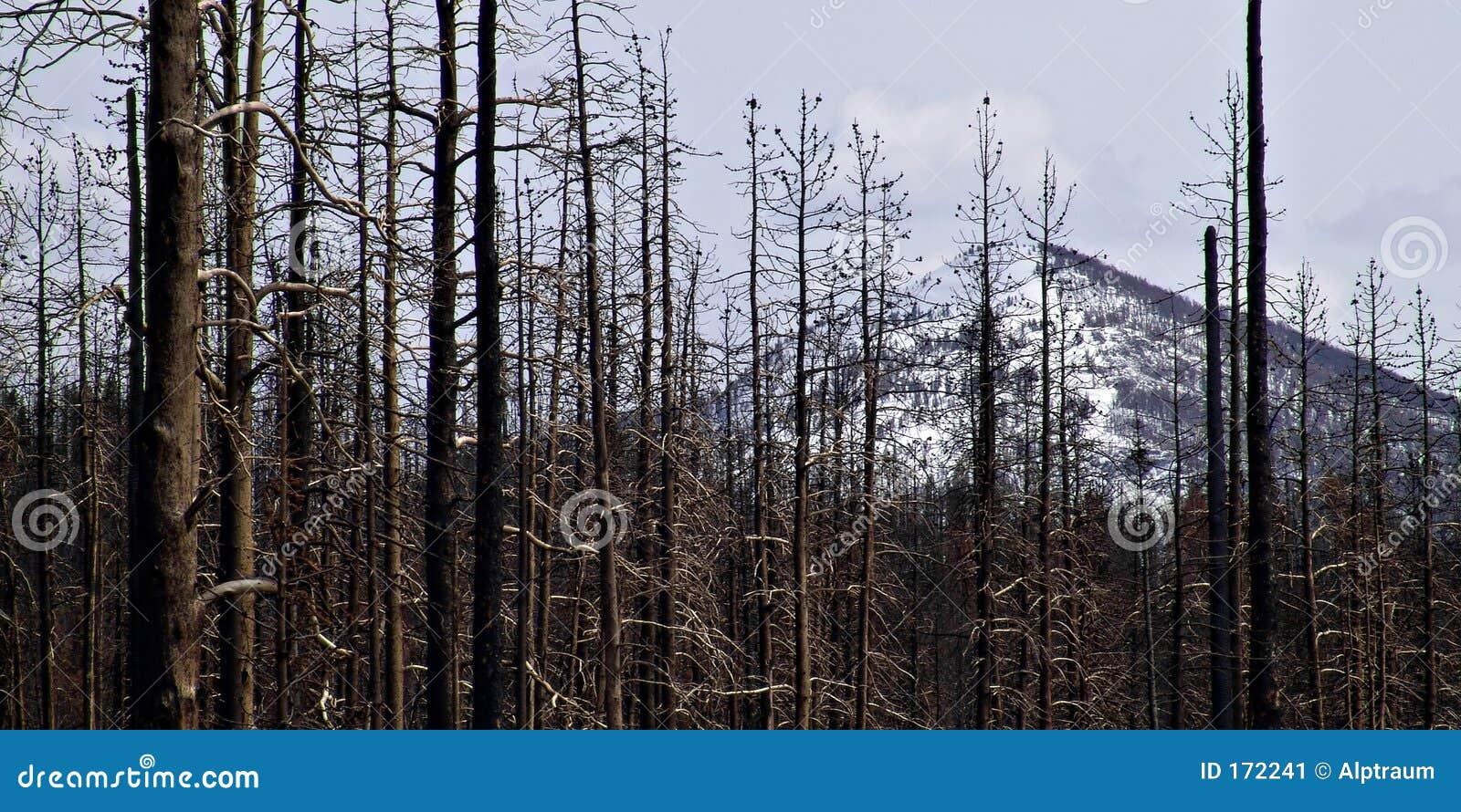 Skadebrandskog yellowstone