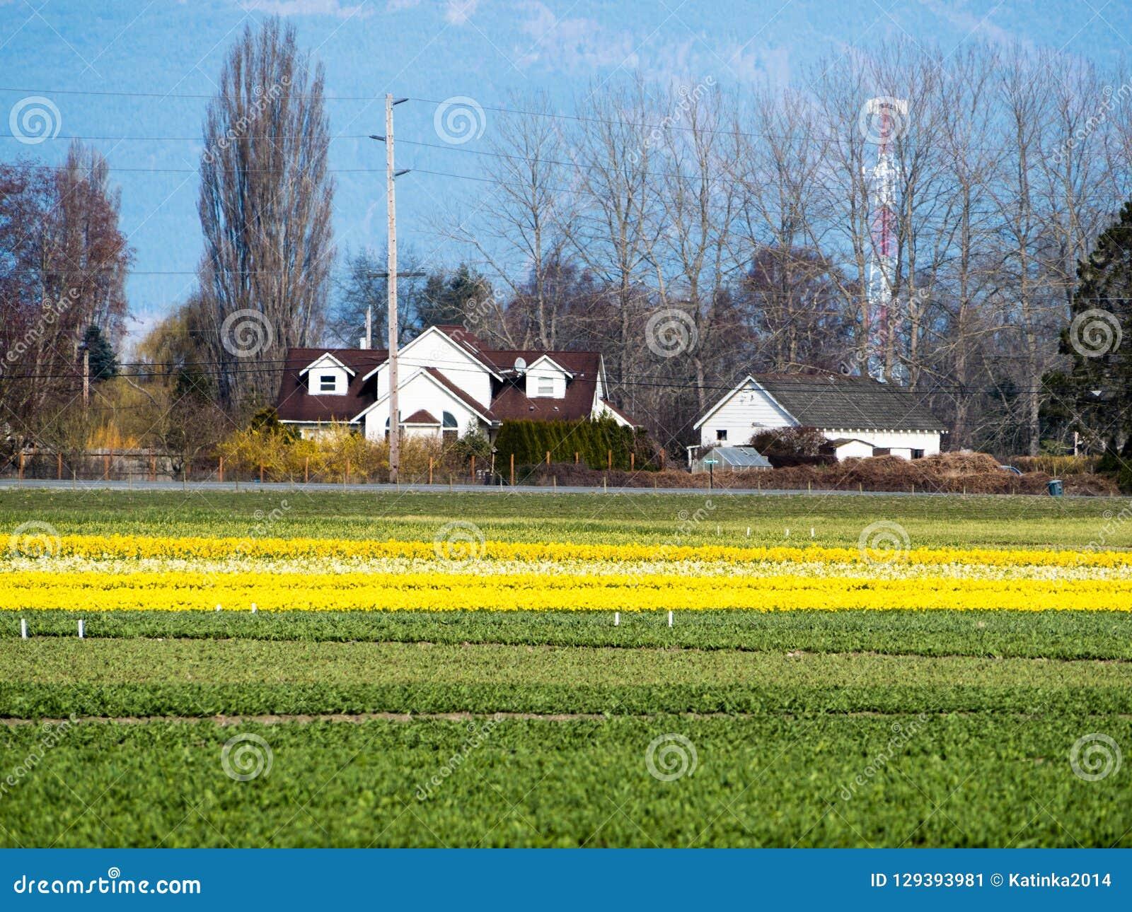 Farmlands with daffodil fields in Washington state, USA