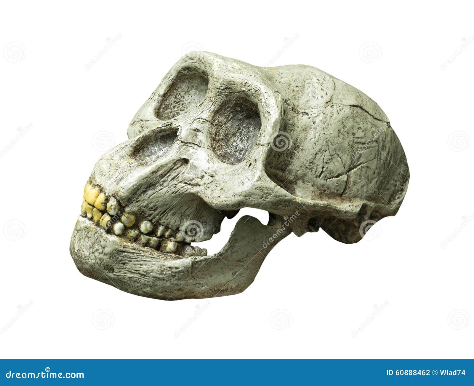 Skallen av Australopithecusafricanusen från Afrika