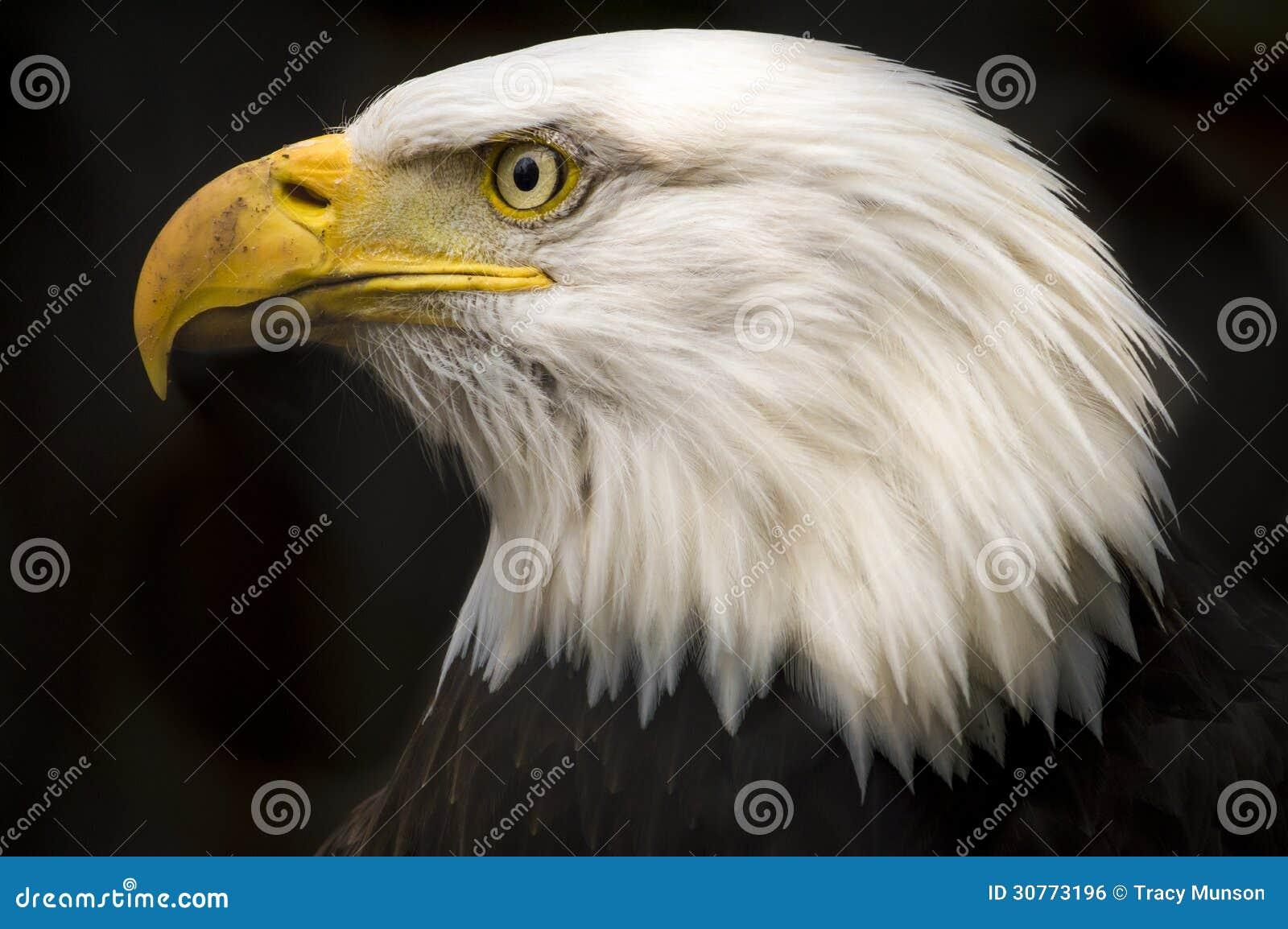 Skalliga Eagle