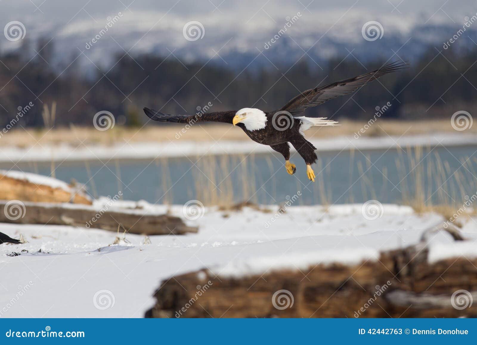 Skalliga Eagle flyg, Homer Alaska