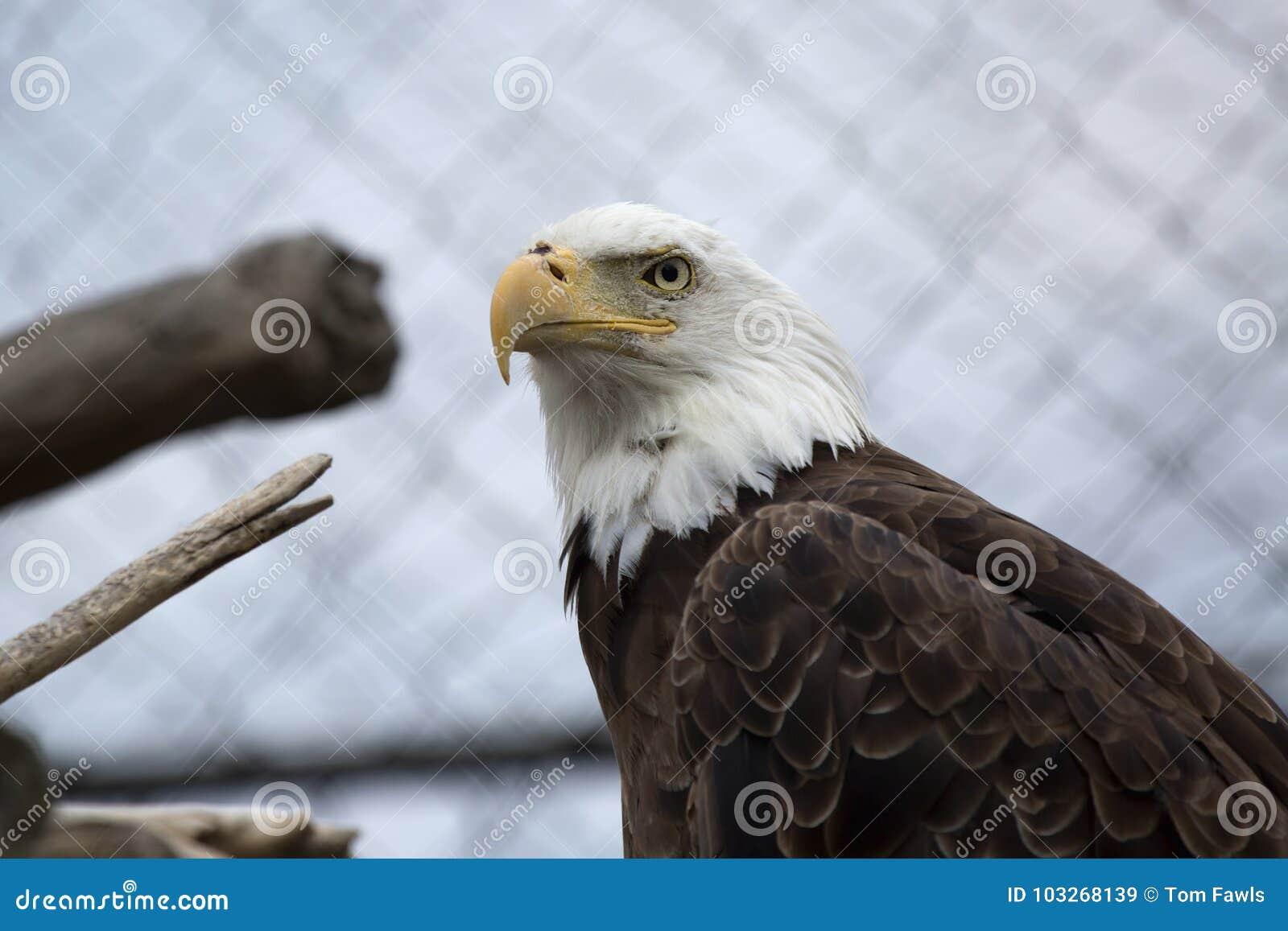 Skalliga Eagle i fångenskap