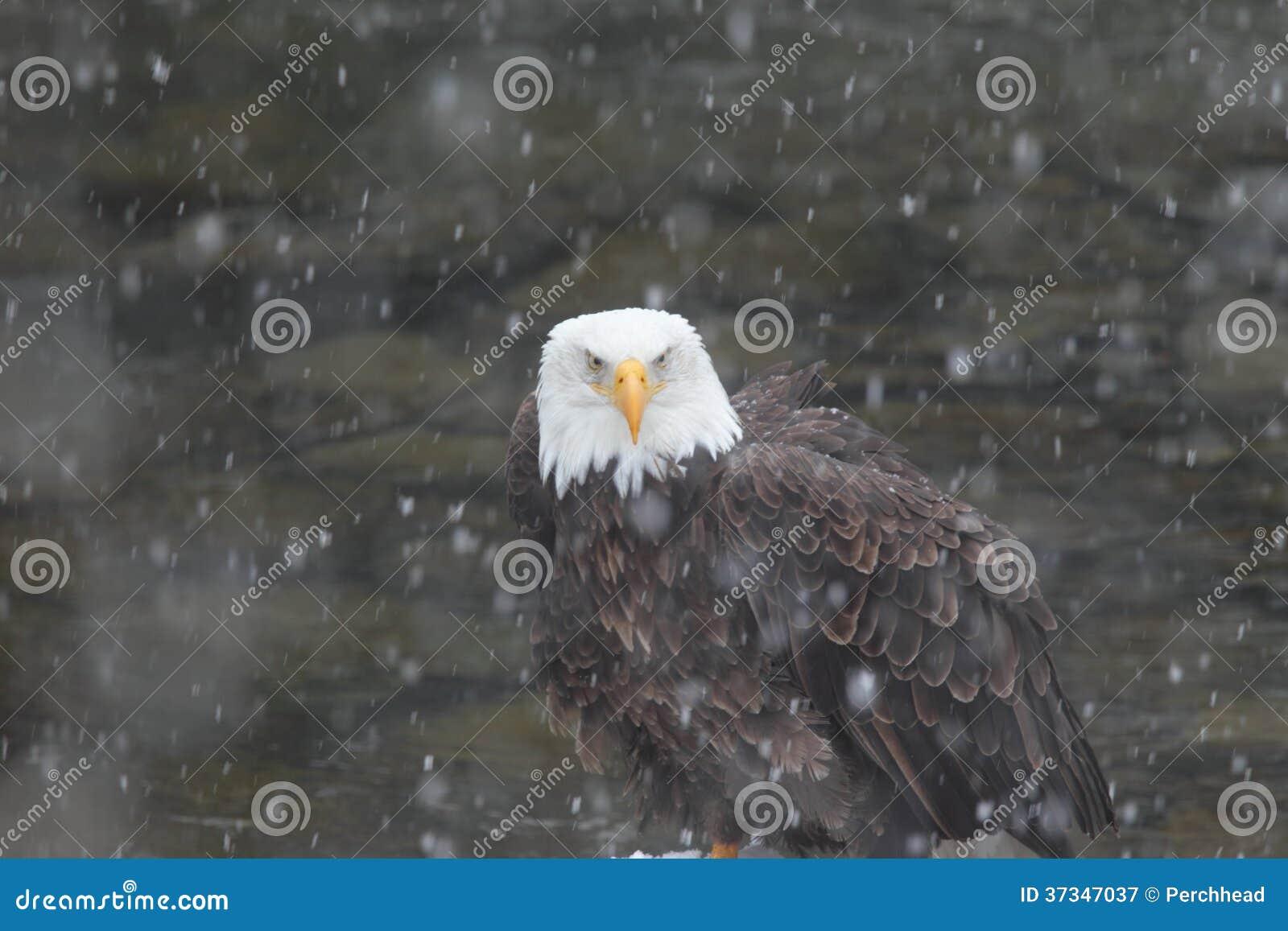 Skalliga Eagle i snöstorm
