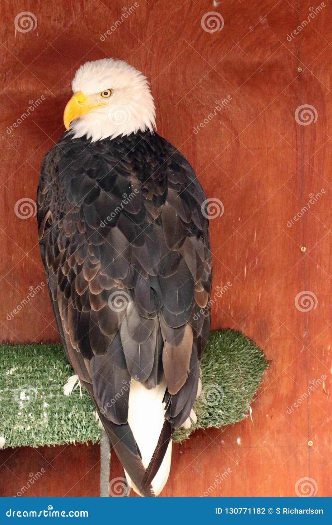 Skalliga Eagle på den Banham zoo