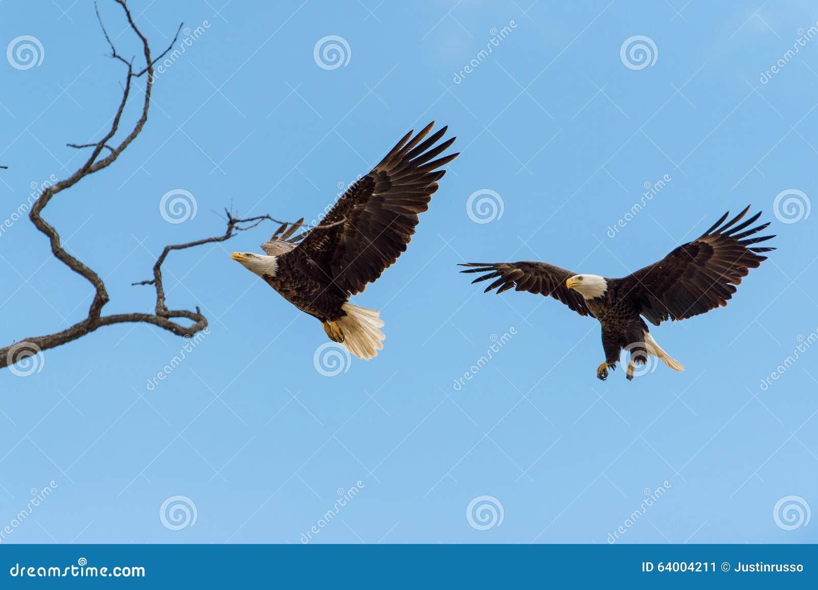 Skalliga Eagles i flykten