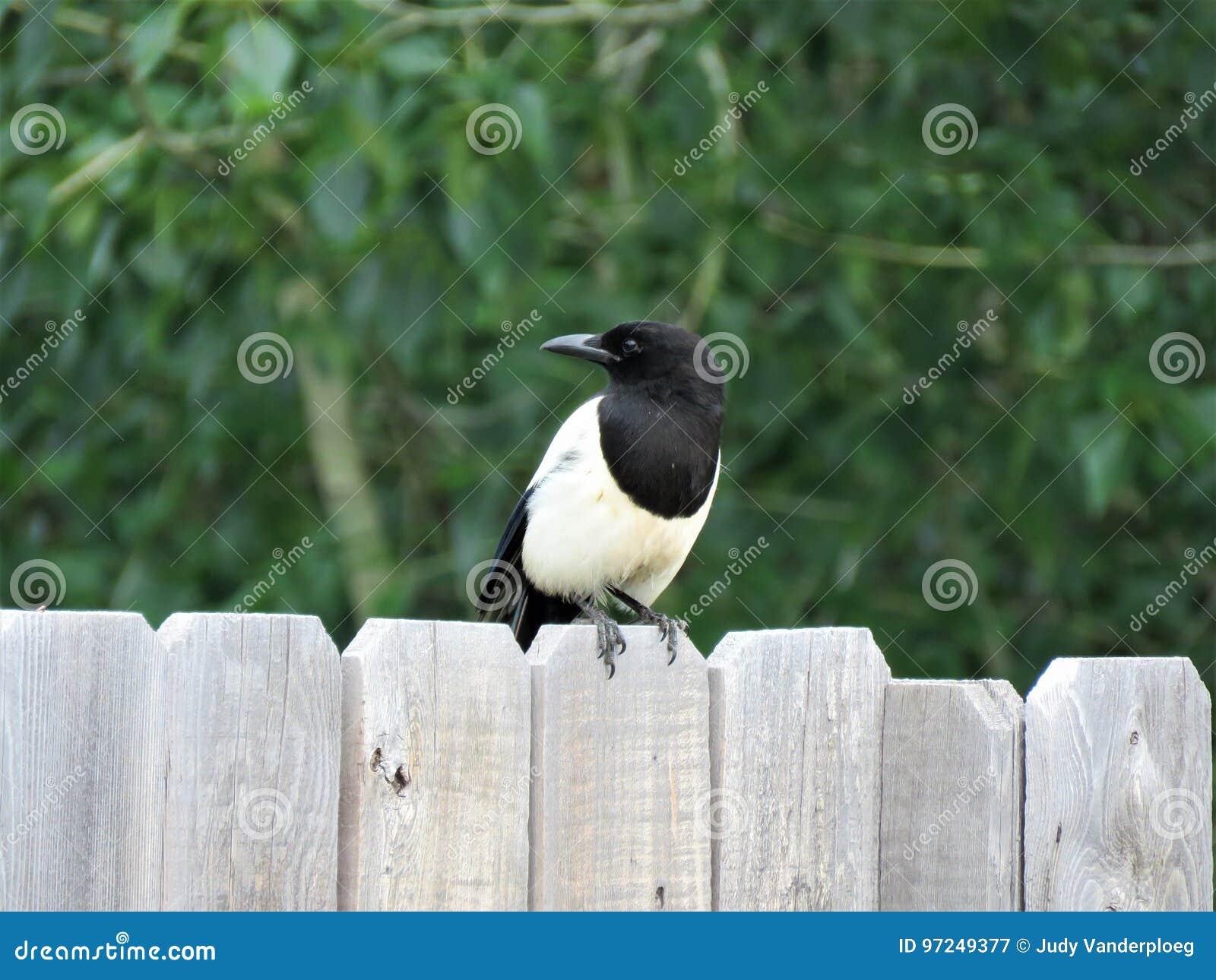 Skata på ett staket