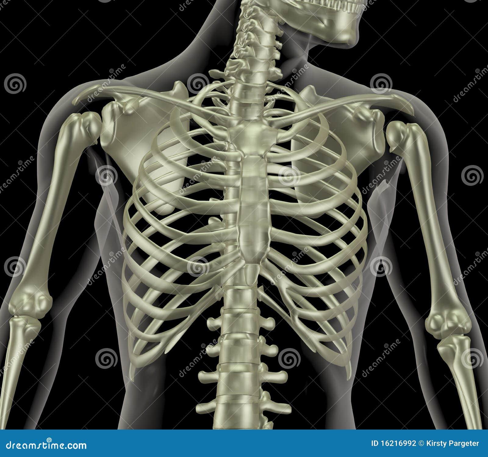 Skelet Dat Dicht Van Ribbenkast Verschijnt Stock Fotografie   Afbeelding  16216992