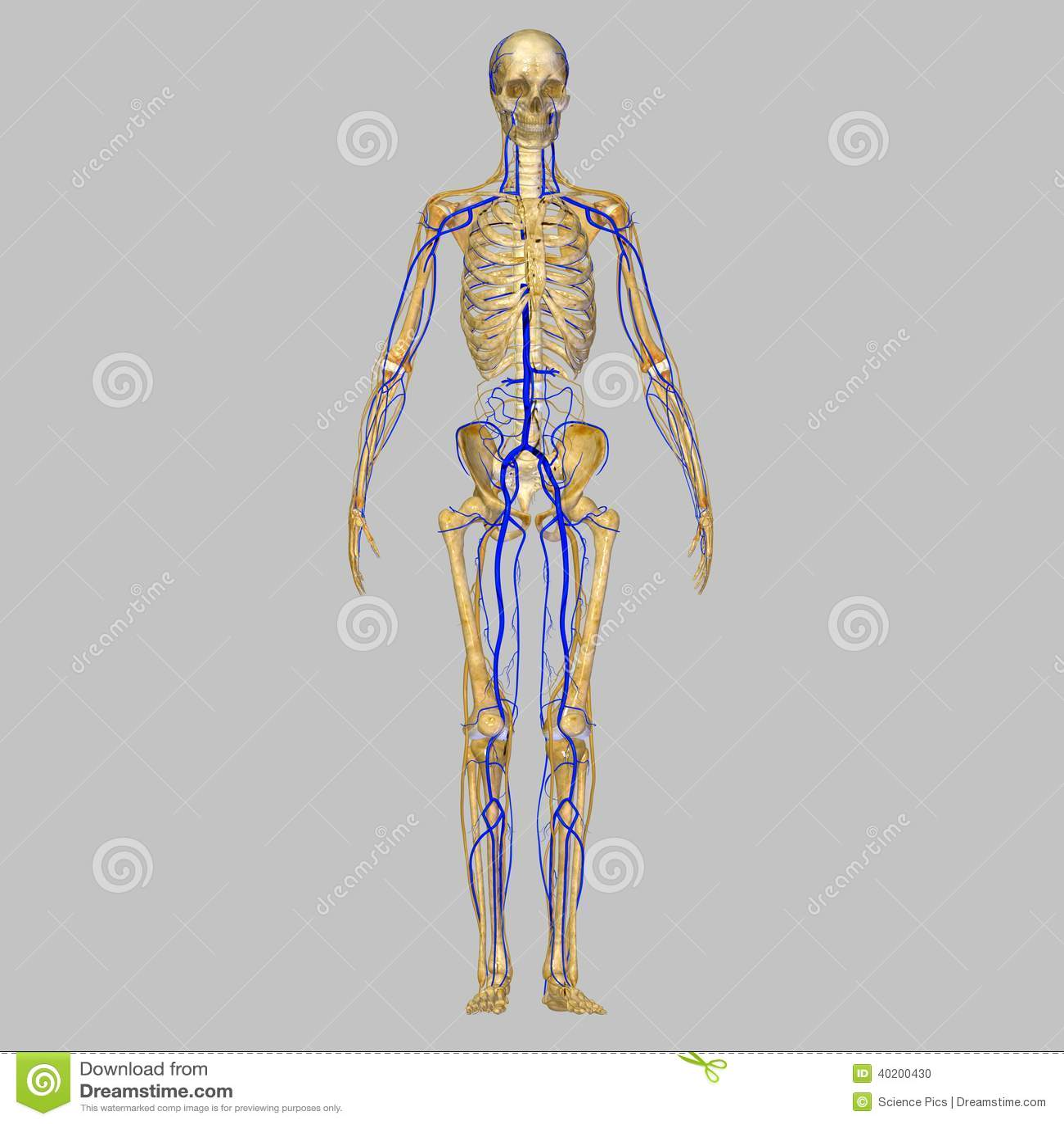 skelet met aders stock illustratie