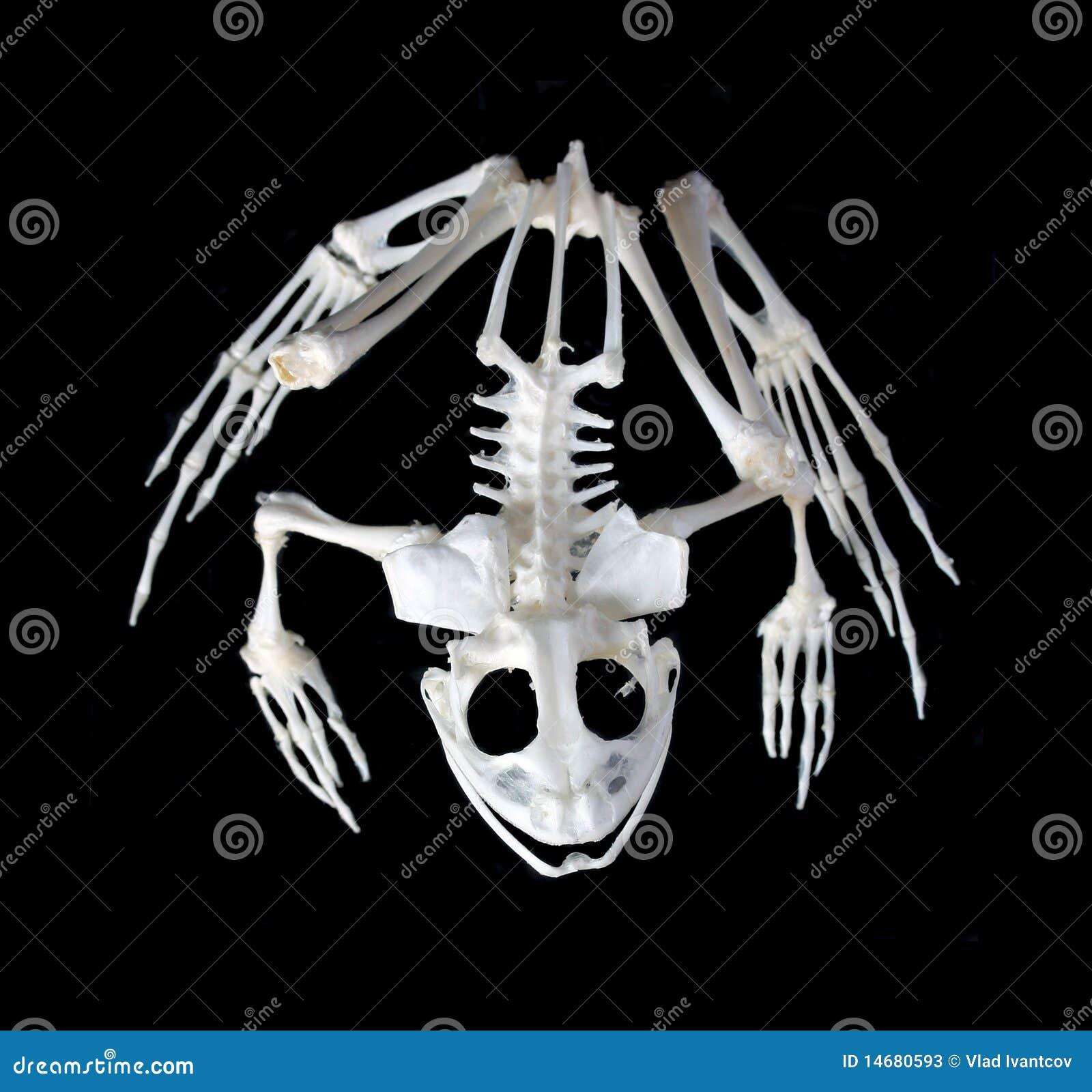 Skelet van een kikker.