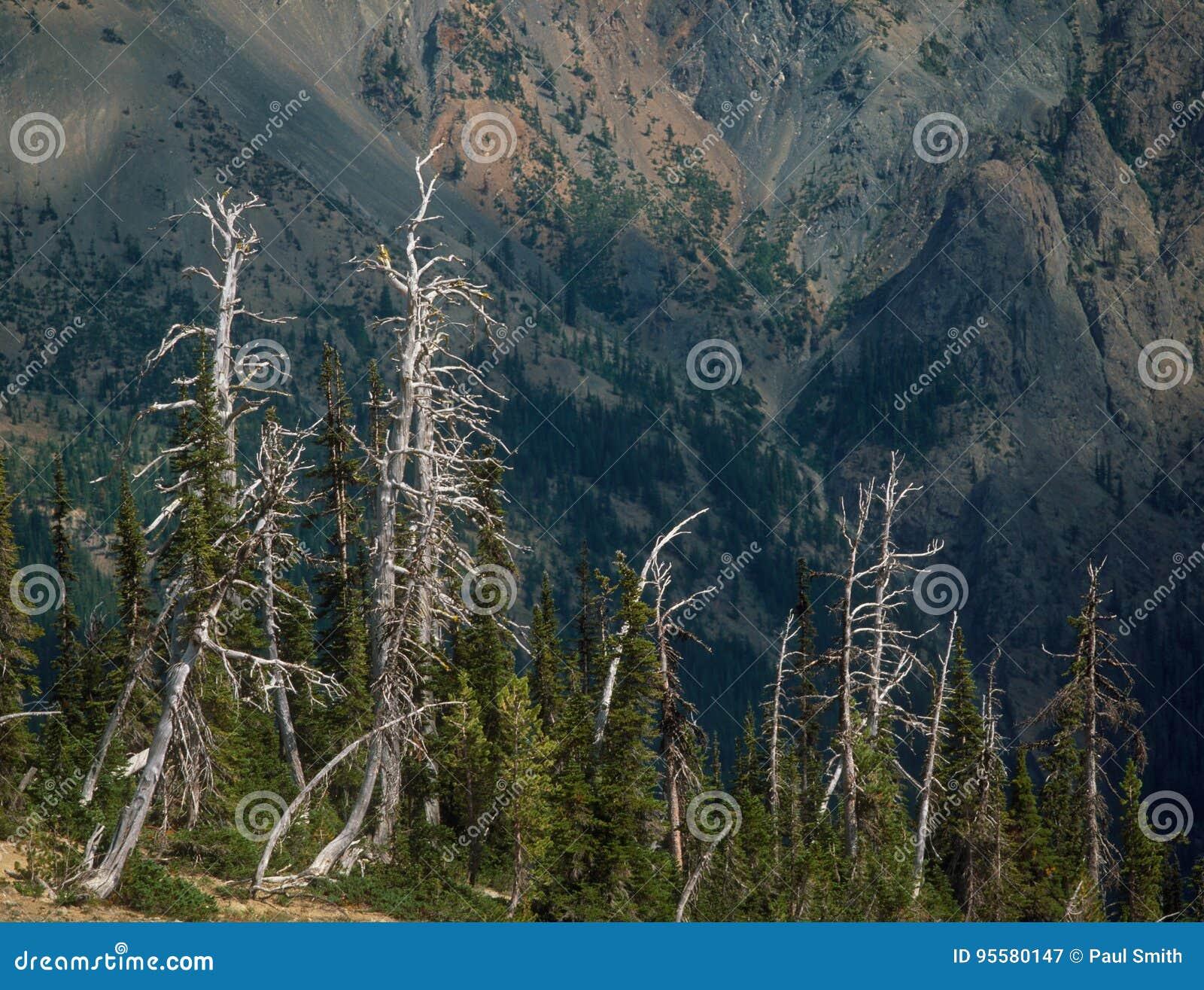Skeletachtige Bomen bij de Pas van het Fortuinkoekje, Alpiene Meren, Cascadewaaier, Washington