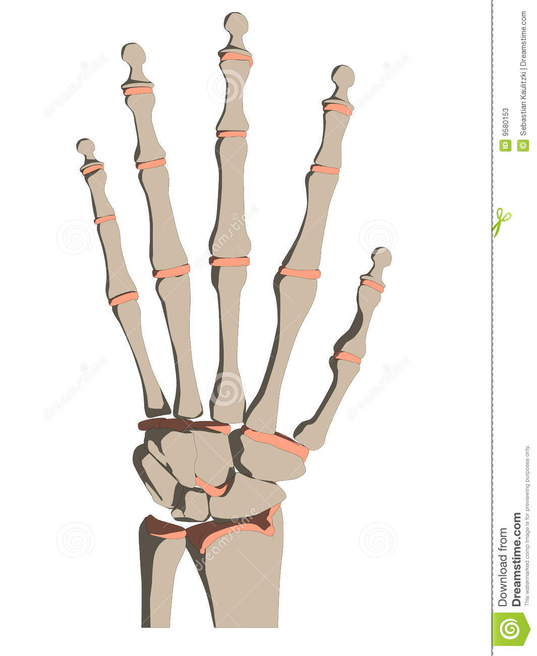 Skeletal Hand Stock Vector Illustration Of Wrist Anatomy 9580153