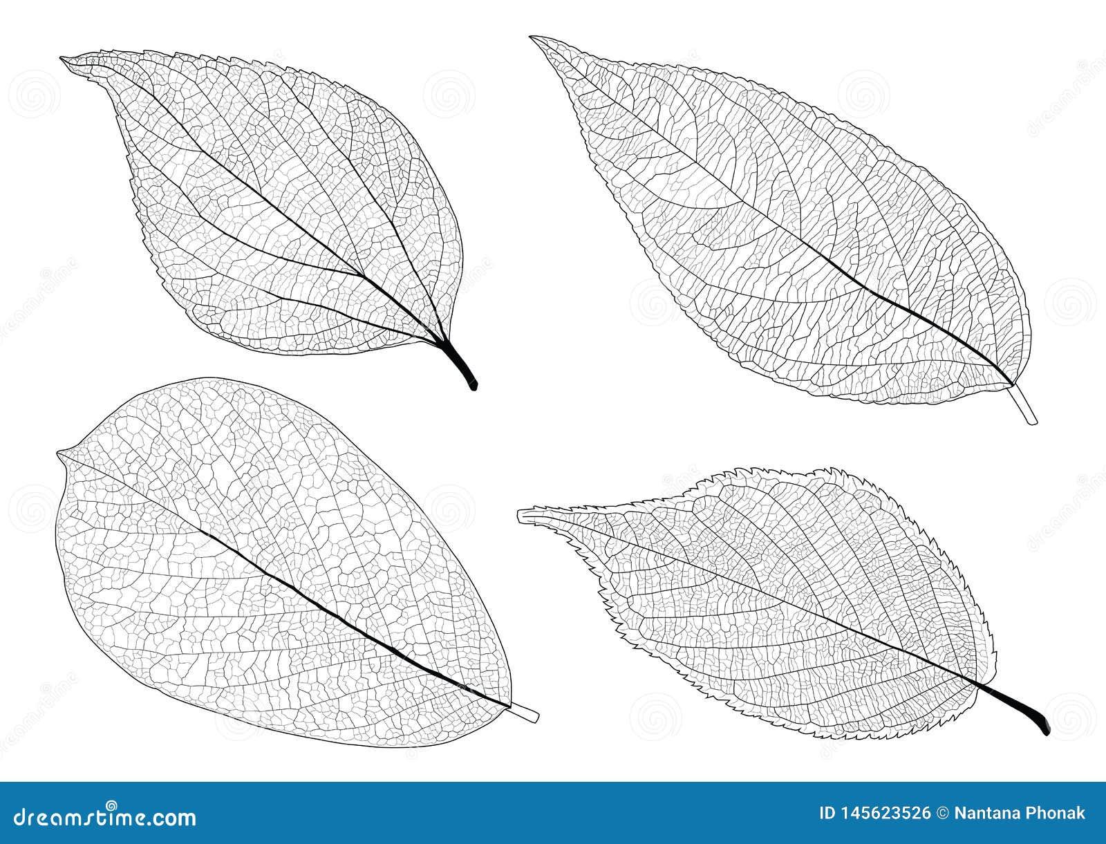 Skeletal Leaves lined on white background
