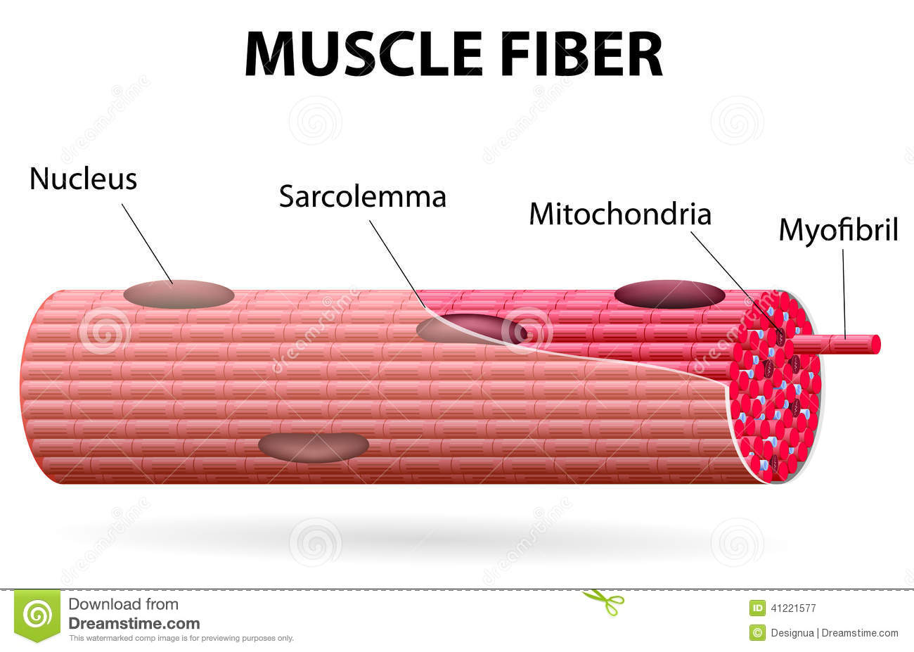 The Skeletal Muscle Fiber Stock Vector Illustration Of Myosin