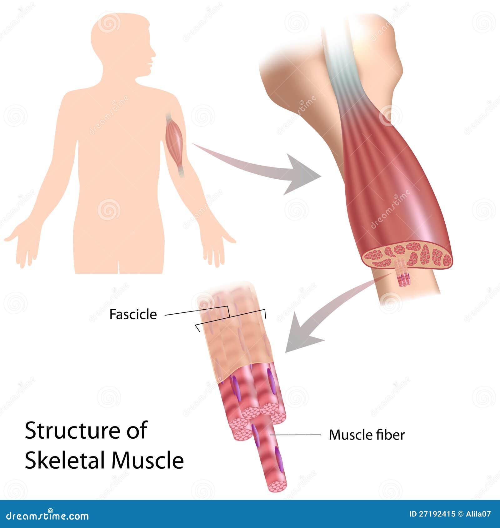 Structure Of Skeletal Muscle Fiber Stock Vector Illustration Of