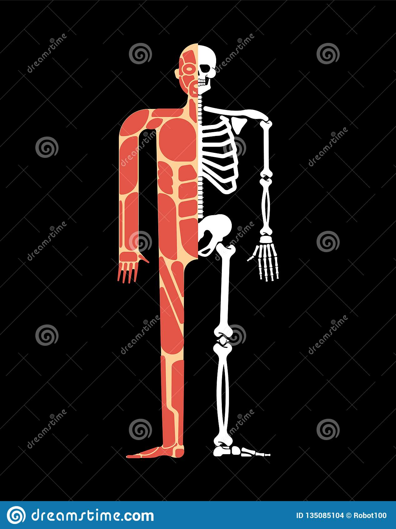 Skeletal Muscle System Skeleton And Muscular Anatomy Bones And