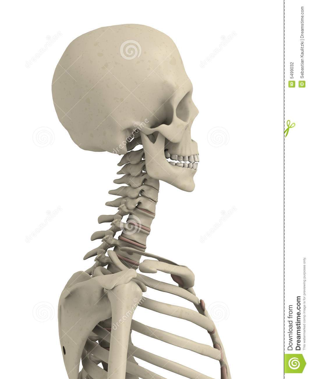 Skeletal Neck And Scull Stock Illustration Illustration Of Skeleton