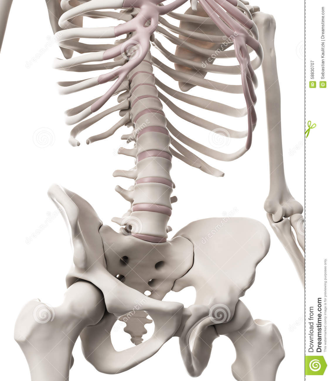 The Skeletal System - The Hip And Lower Spine Stock Illustration ...