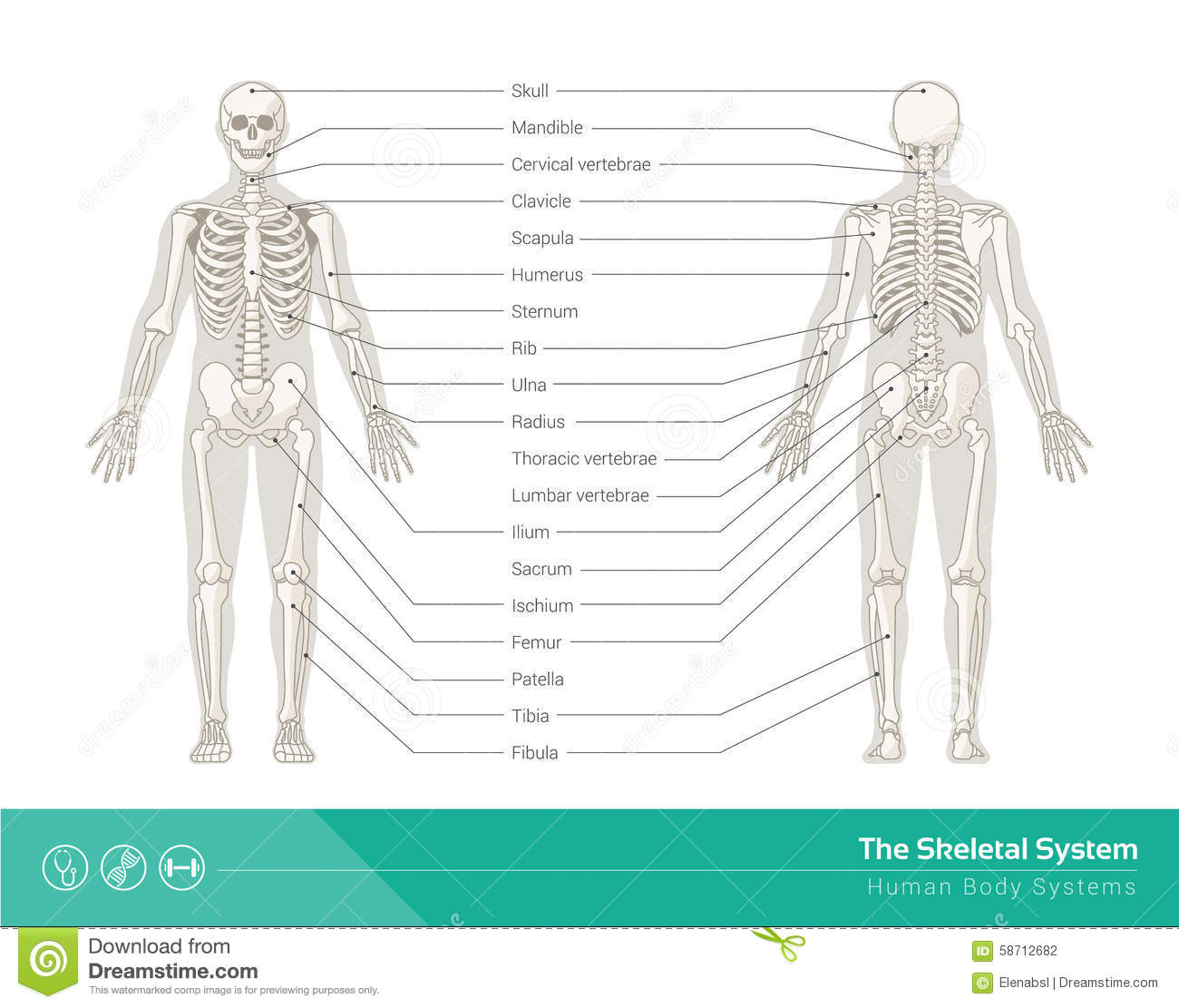 The Skeletal System Stock Vector  Image  58712682