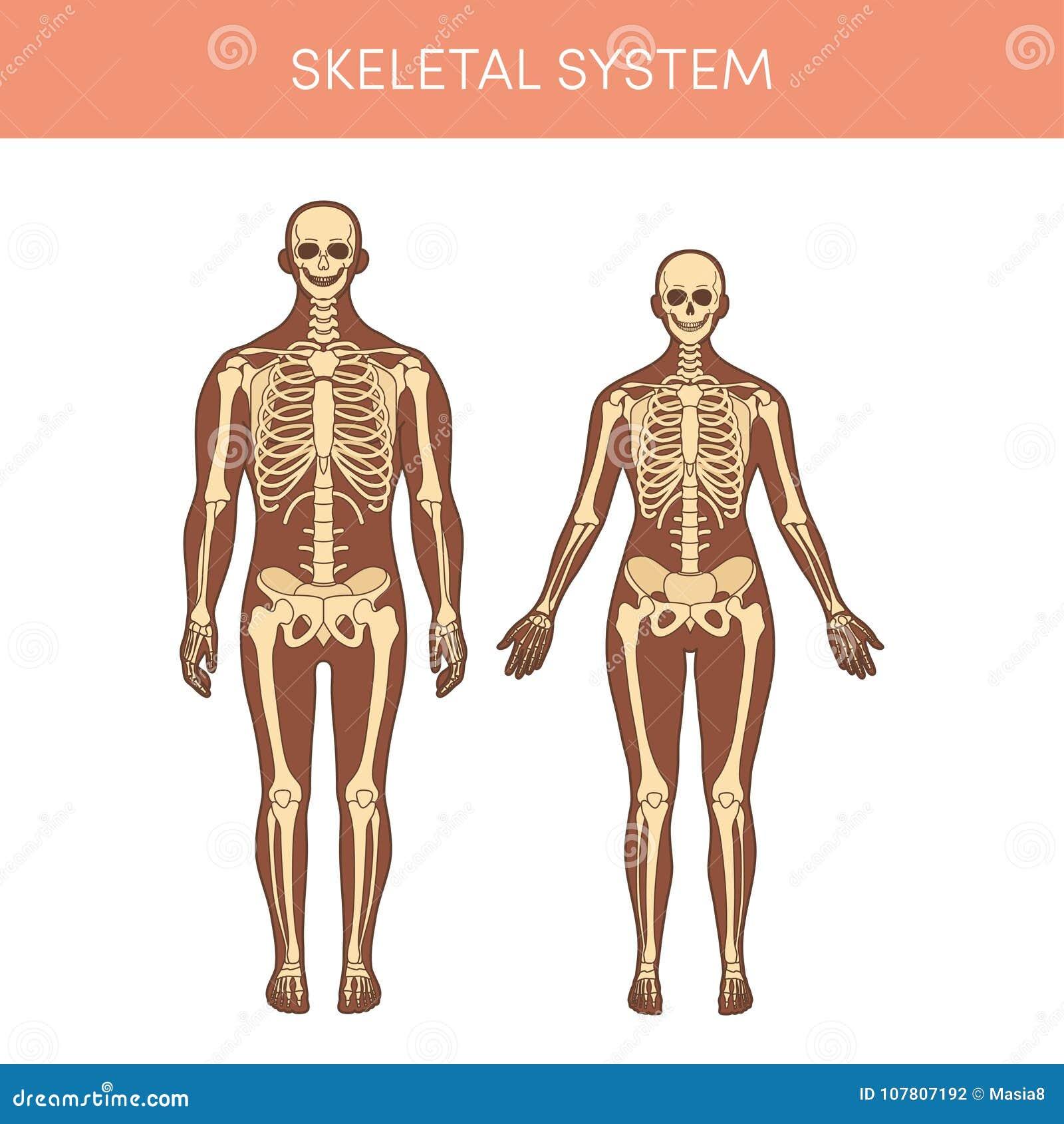 Skeletal System Stock Illustration Illustration Of Anatomical