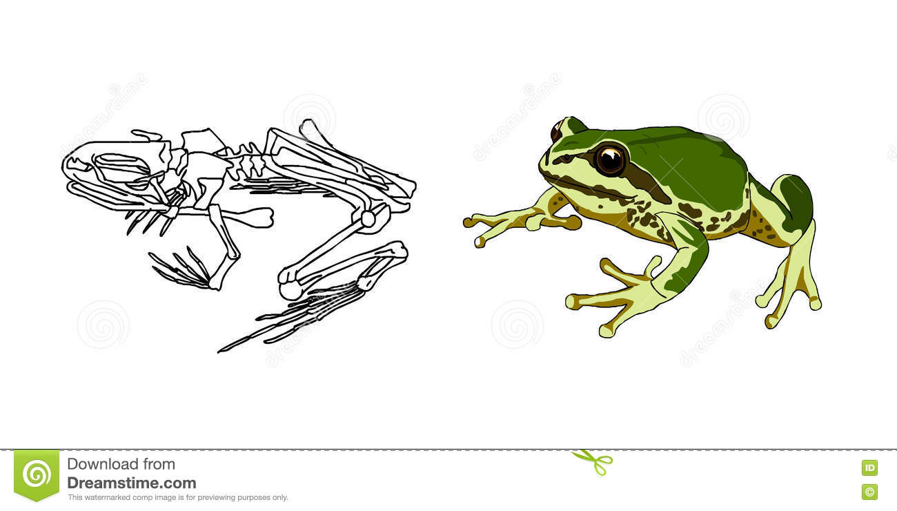 The Skeleton Of Amphibians Toad Frog Anatomy Vector Stock