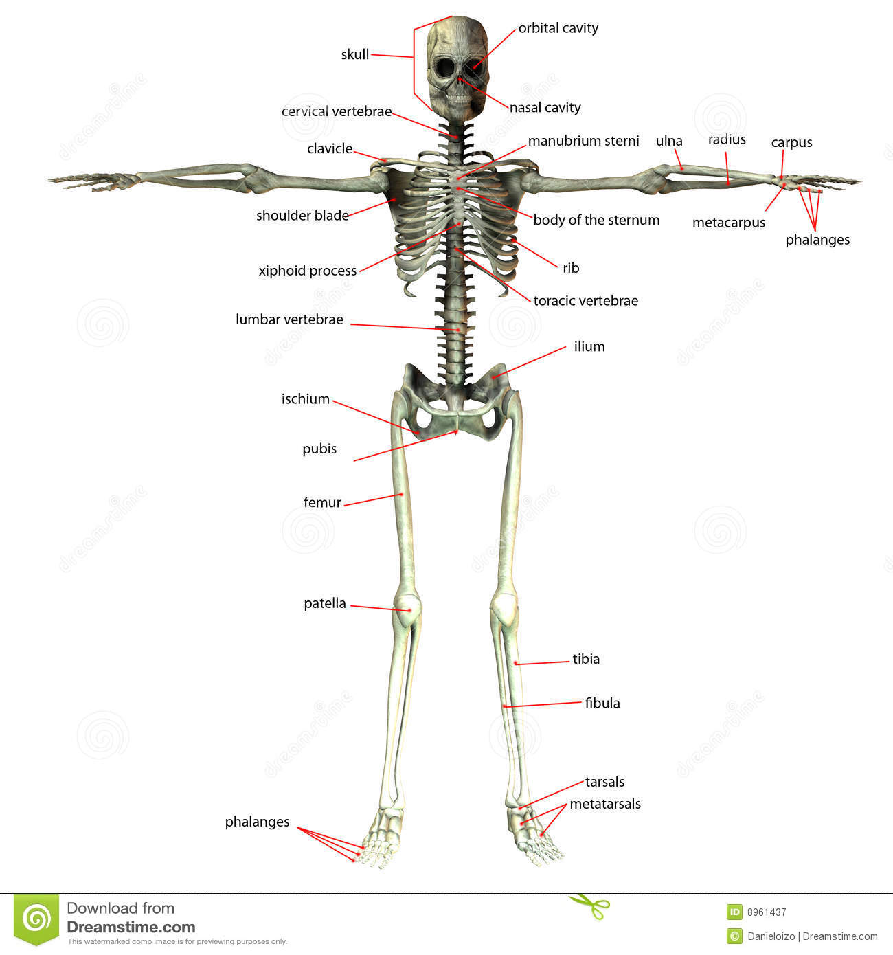 Skeleton Bone Names Stock Illustration Illustration Of Health 8961437