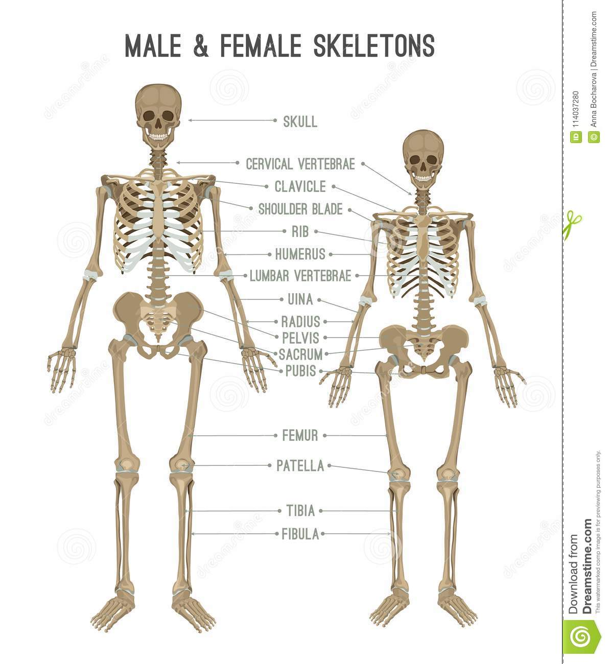 Female Skeleton Diagram Sacrum Electrical Drawing Wiring Diagram