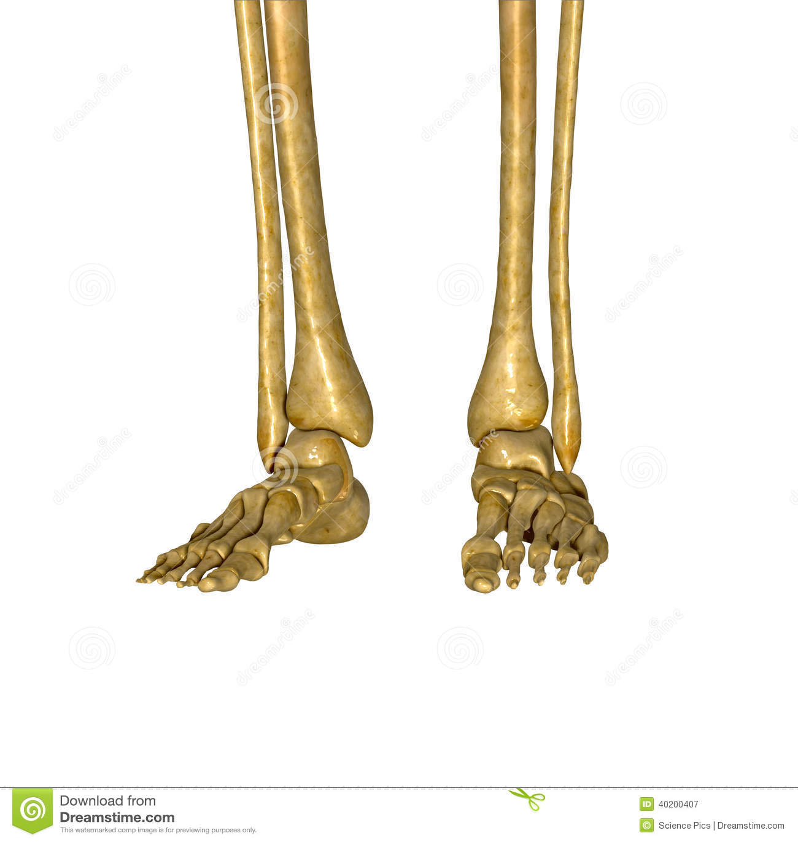 Skeleton Feet Stock Illustration Illustration Of Science 40200407