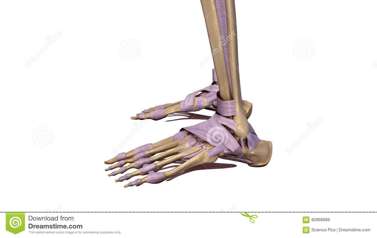 Skeleton Foot With Ligaments Side View Stock Illustration
