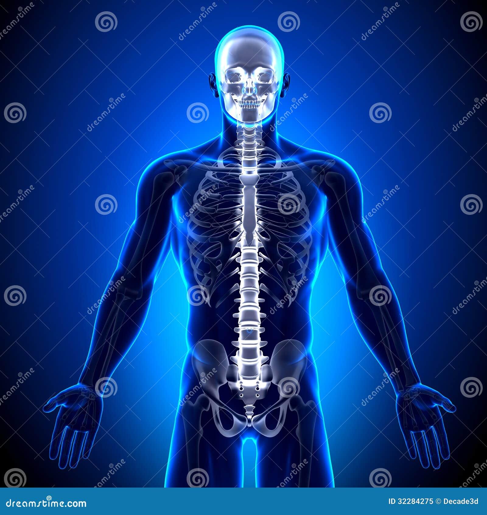 Skeleton Front - Anatomie-Knochen Stock Abbildung - Illustration von ...