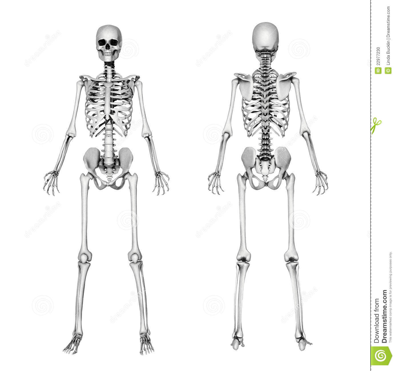 Skeleton Front Back Pencil Drawing Stock Illustration