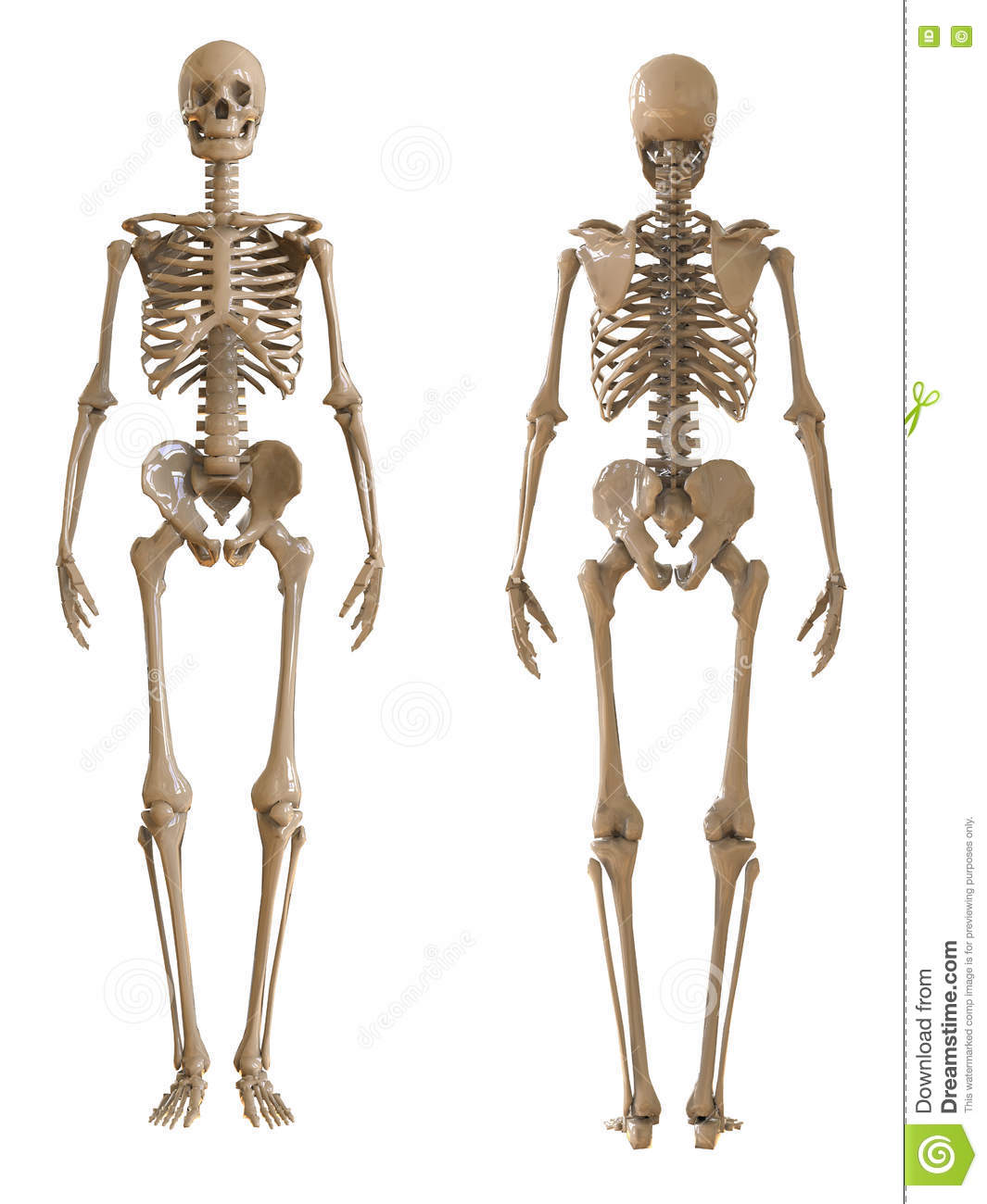 Skeleton Front And Rear View Plastic Layout Of The Human Skeleton