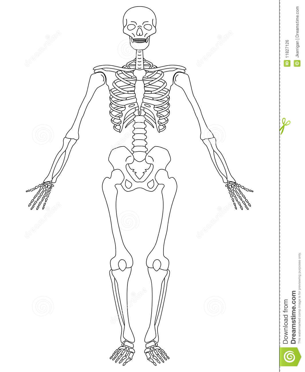 skeleton  front view stock vector  image of medical
