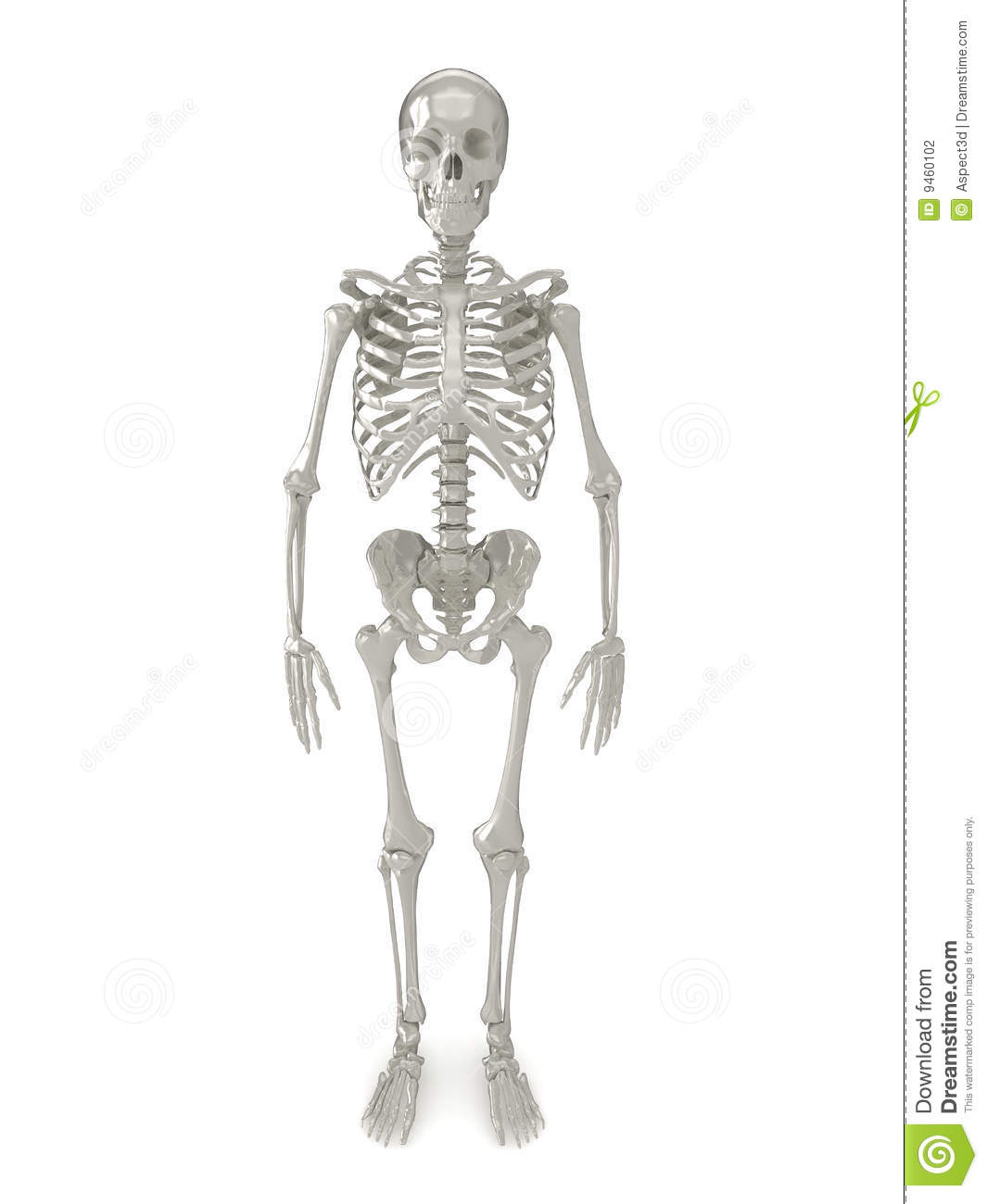 Skeleton front view stock illustration. Illustration of male - 9460102