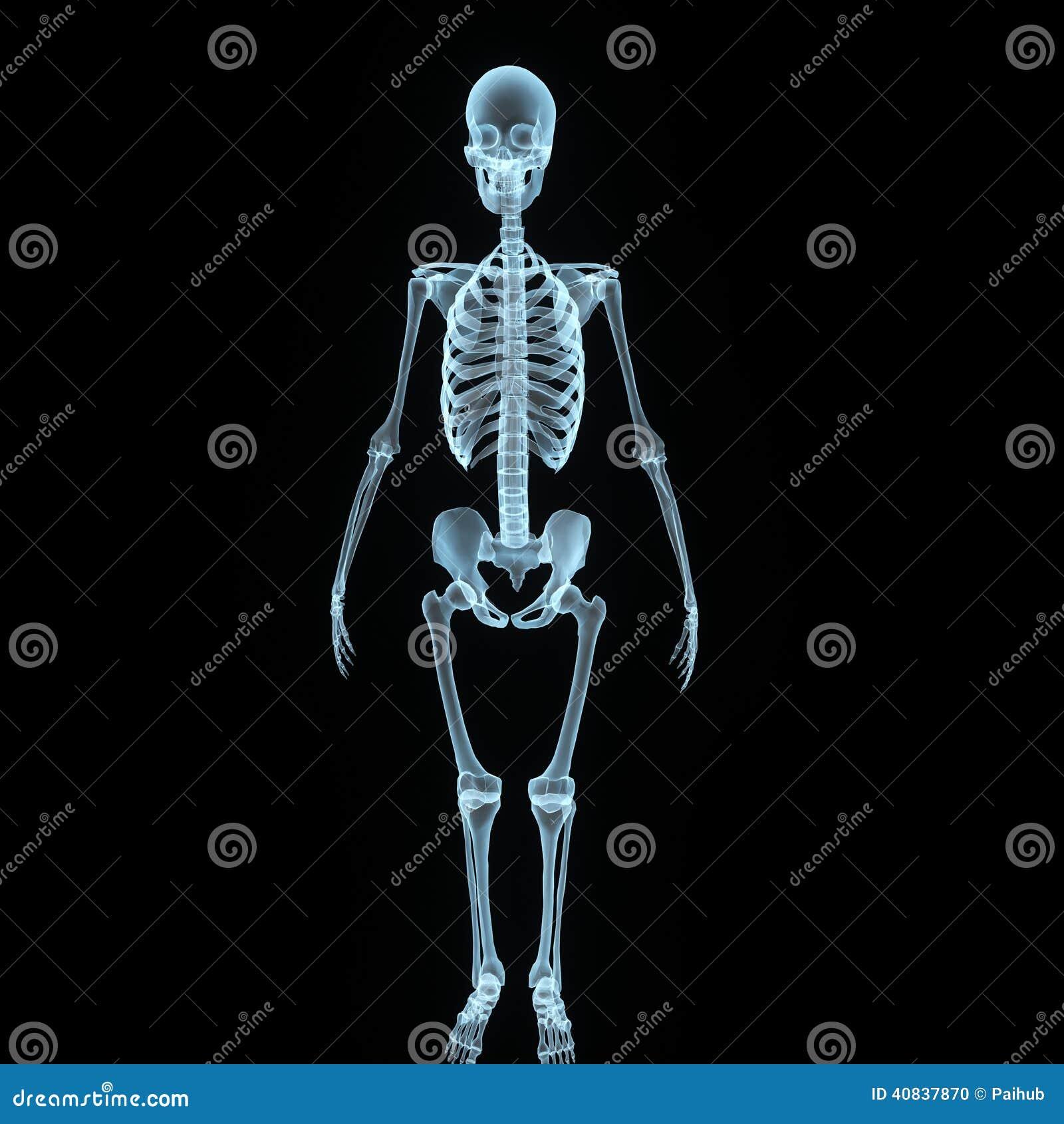 Skeleton Front View Stock Illustration - Image: 40837870