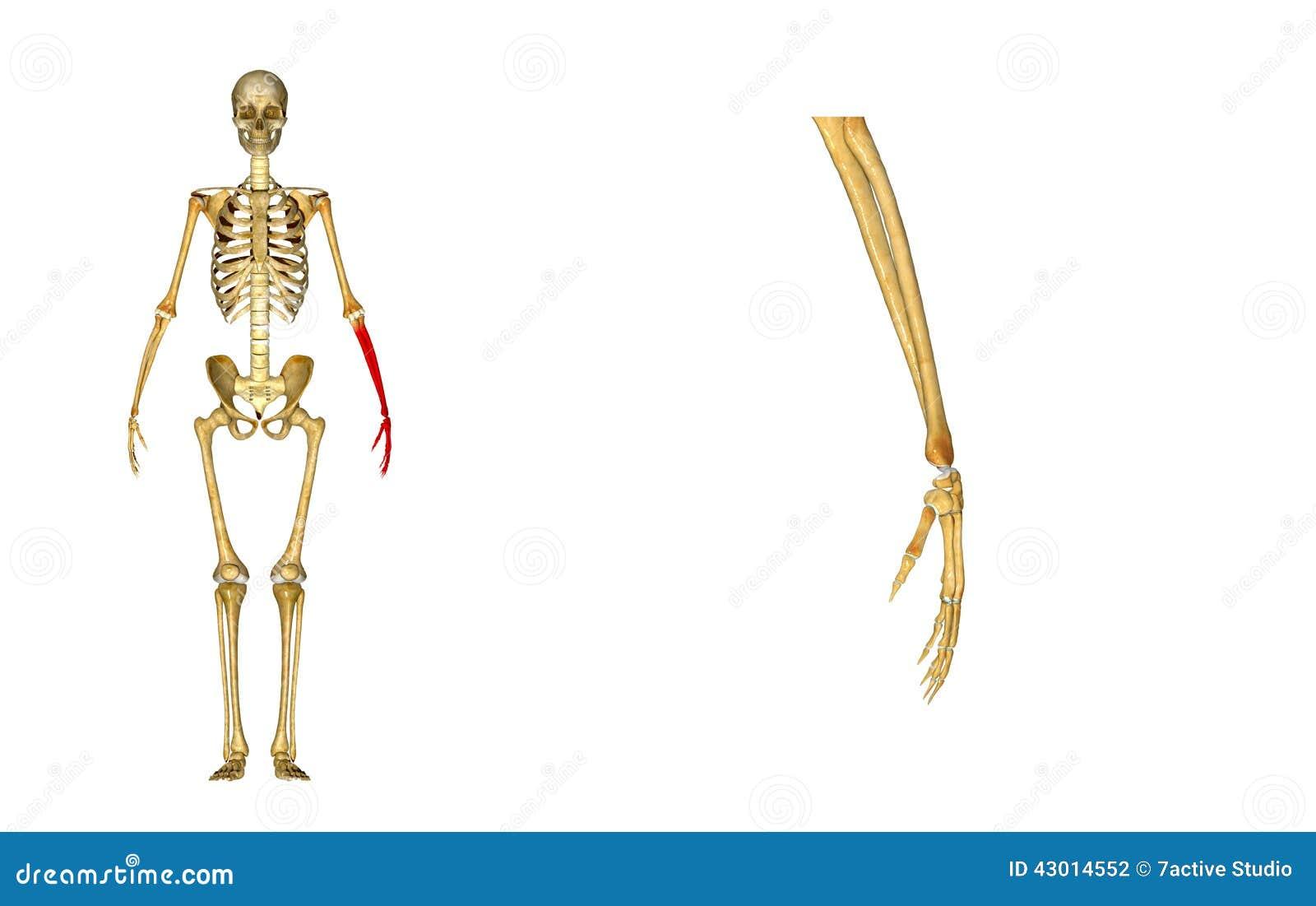 Skeleton: hand bone stock illustration. Illustration of health ...