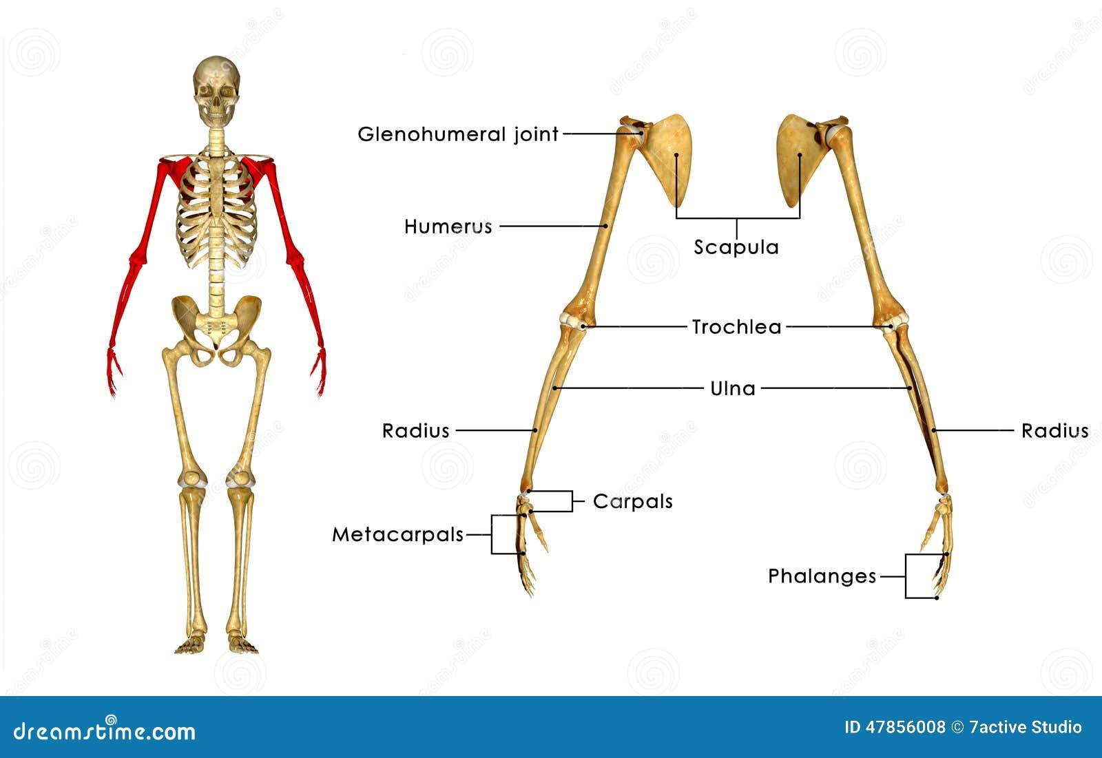 Skeleton hand bones
